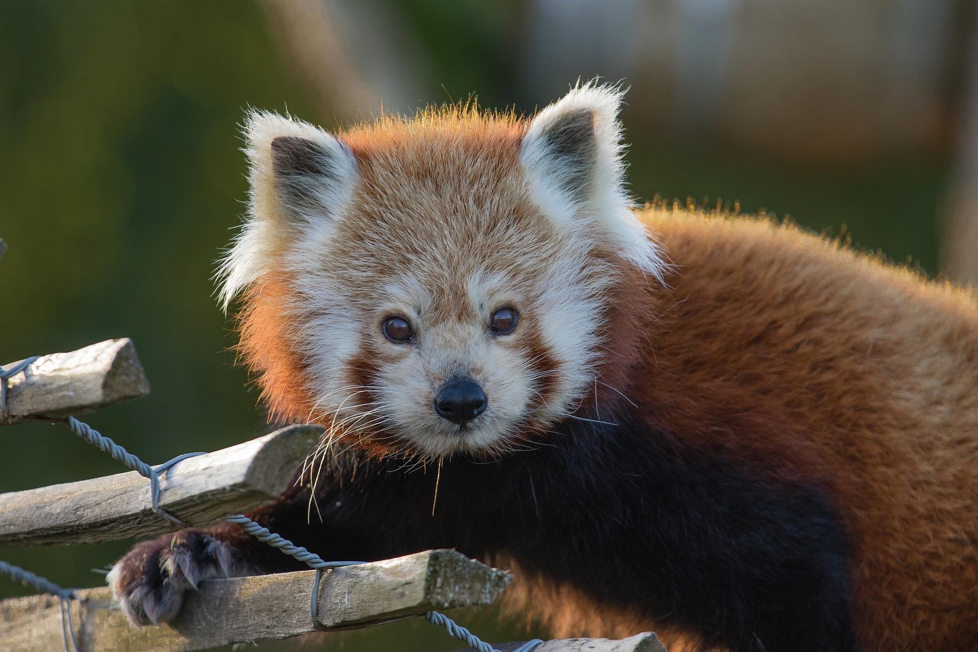 लाल पांडा, चेहरा, देखो, निविदा, वन्य जीवन - वॉलपेपर - प्रोफेसर-falken.com