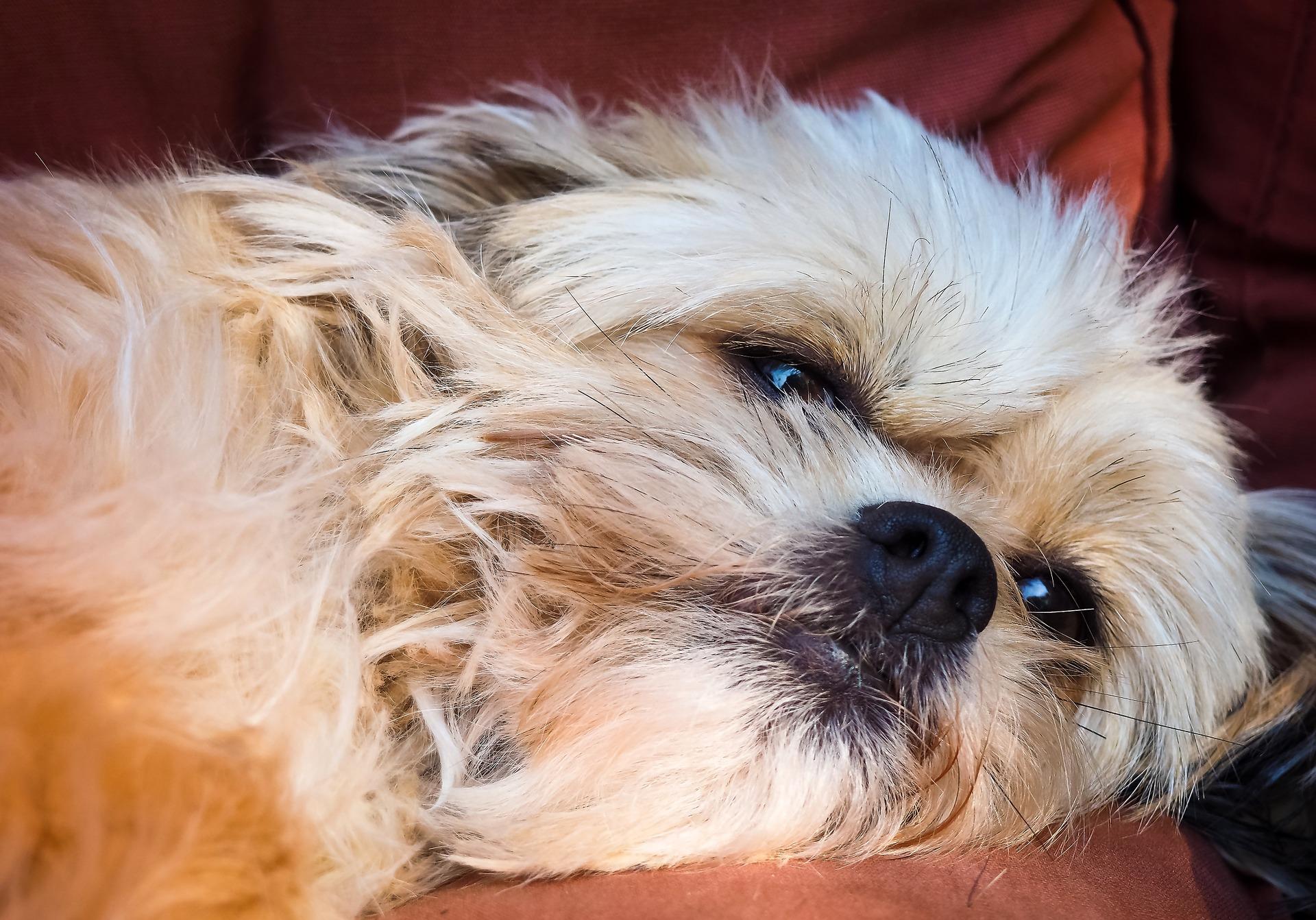 cão, Animal de estimação, amigo, Relaxe, cansado - Papéis de parede HD - Professor-falken.com