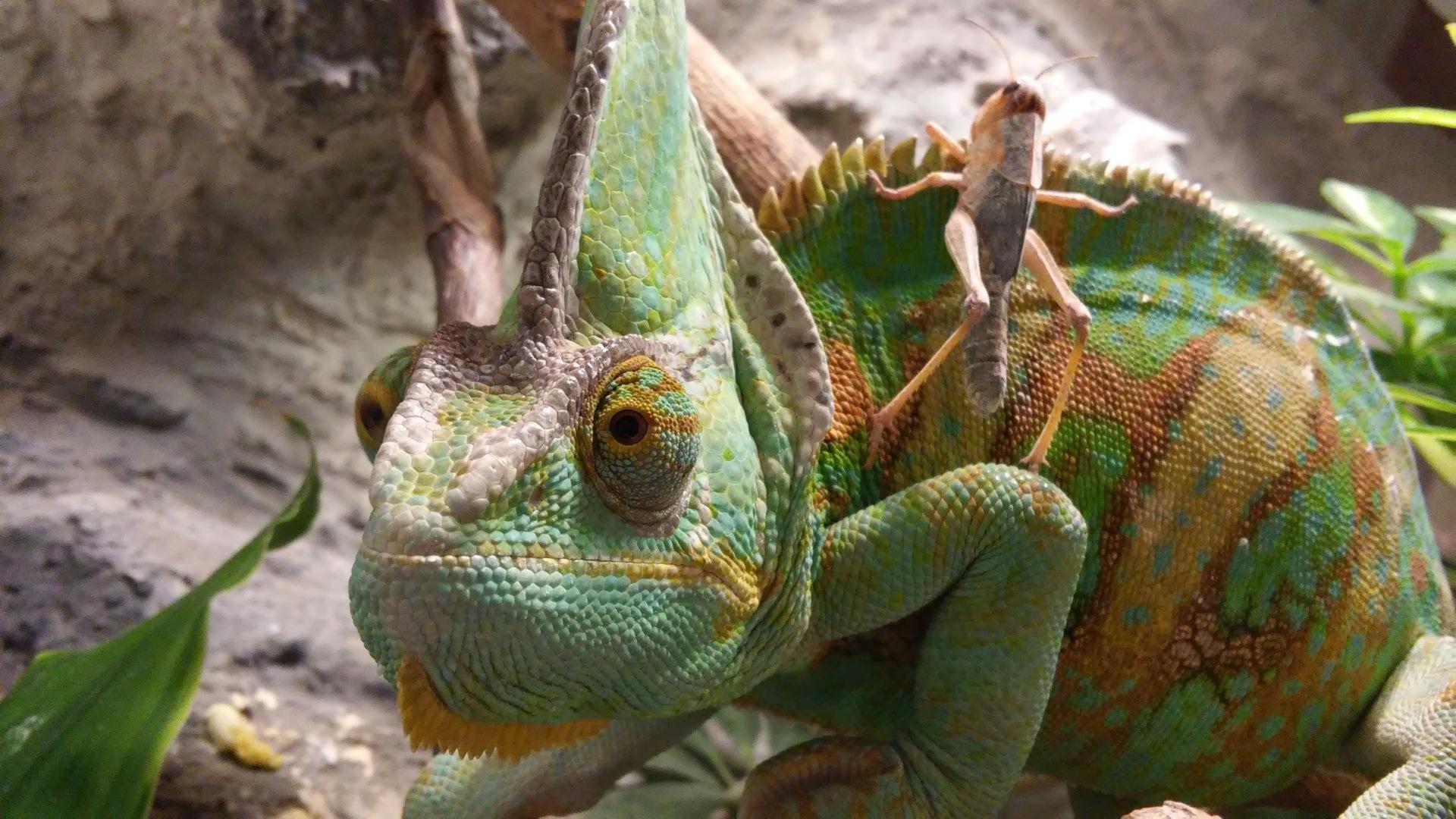 Camaleão, Gafanhoto, insetos, répteis, vida selvagem, Verde - tela HD wallpapers - Professor-falken.com