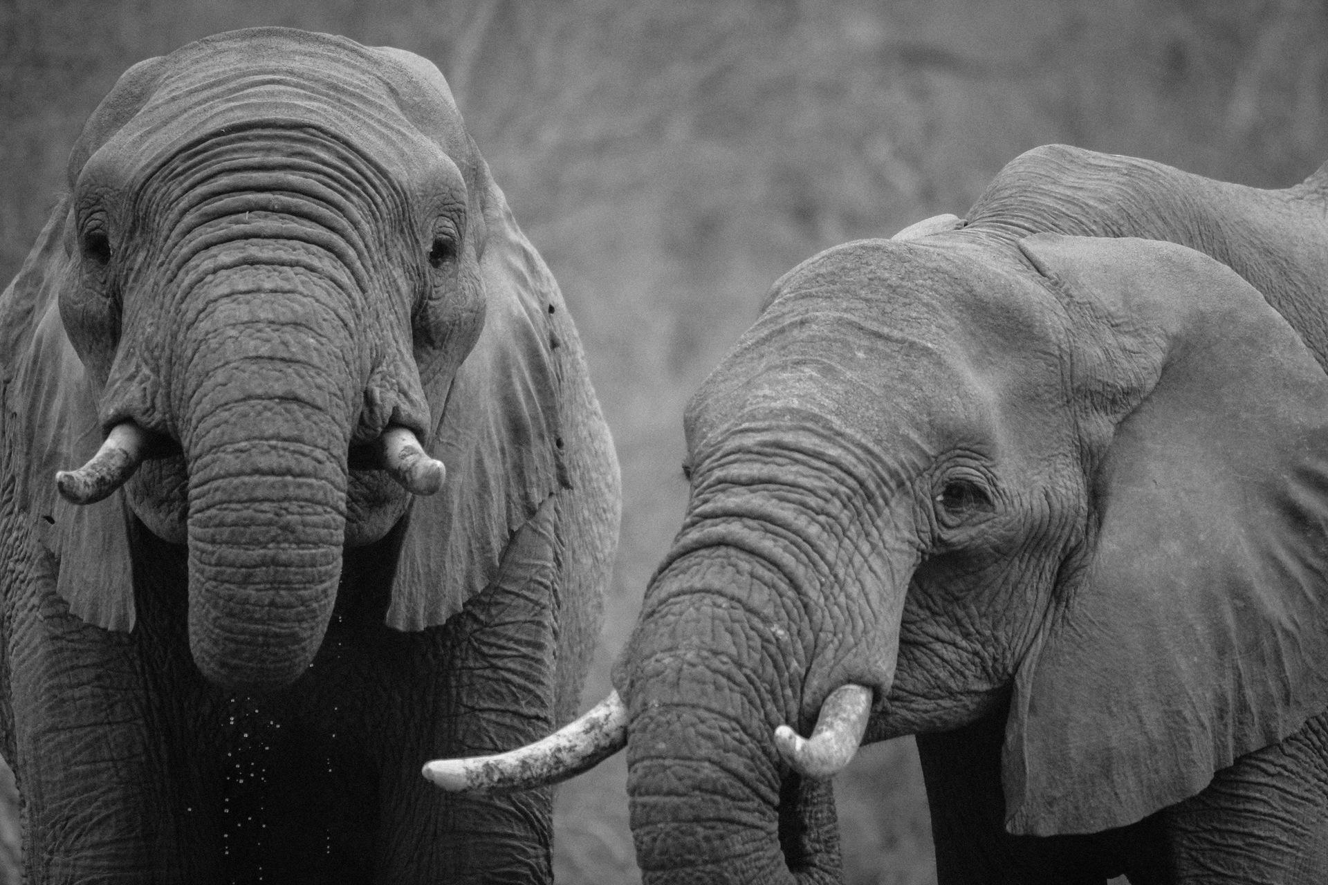 ελέφαντες, ζευγάρι, Σαφάρι, Αφρική, σε μαύρο και άσπρο - Wallpapers HD - Professor-falken.com