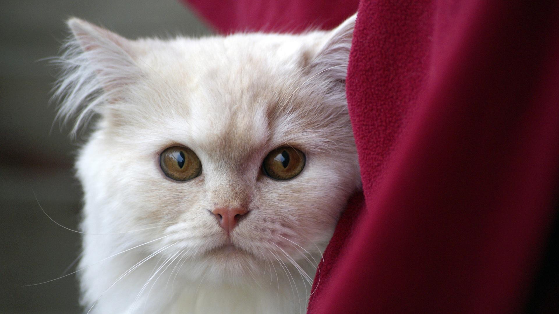 γάτα, Κατοικίδιο ζώο, τα μάτια, Κοίτα, Λευκό - Wallpapers HD - Professor-falken.com