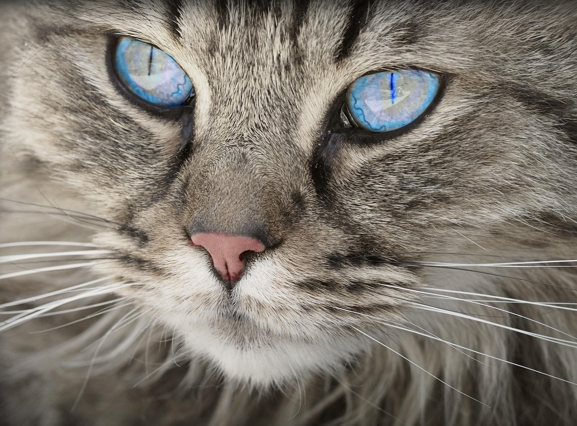 gatto, felino, viso, occhi, Blu, Animale domestico - Sfondi HD - Professor-falken.com