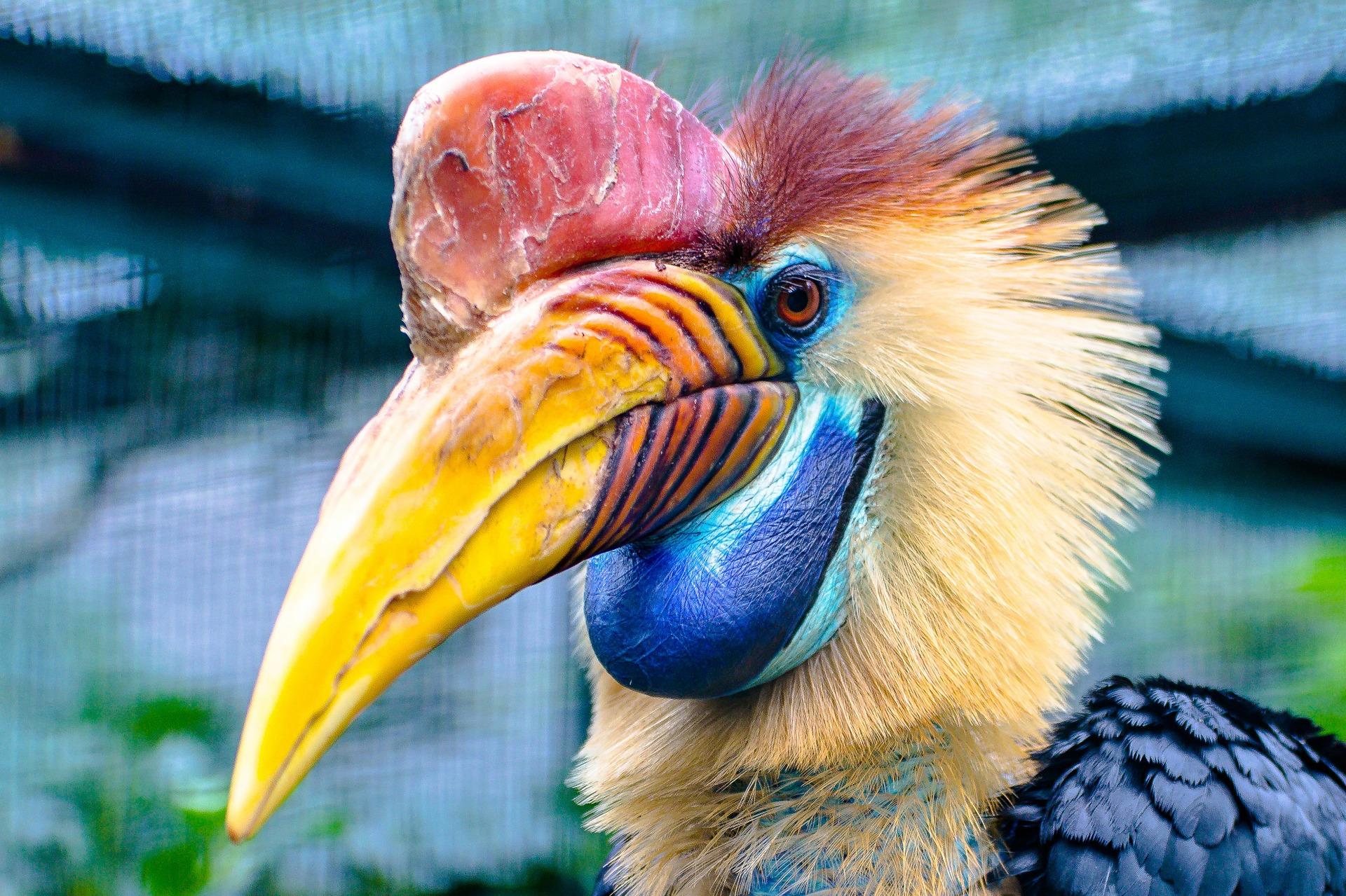 Vogel, seltene, Hornbill, Helm-hornbill, Ave - Wallpaper HD - Prof.-falken.com