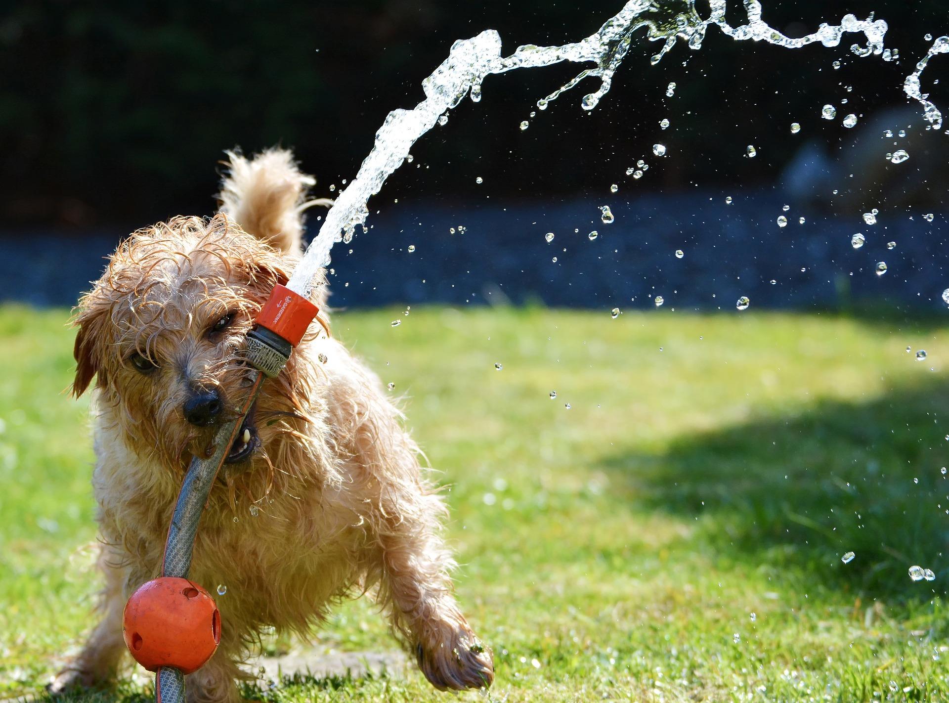 cane, Giardino, Terrier, divertimento, tubo flessibile - Sfondi HD - Professor-falken.com