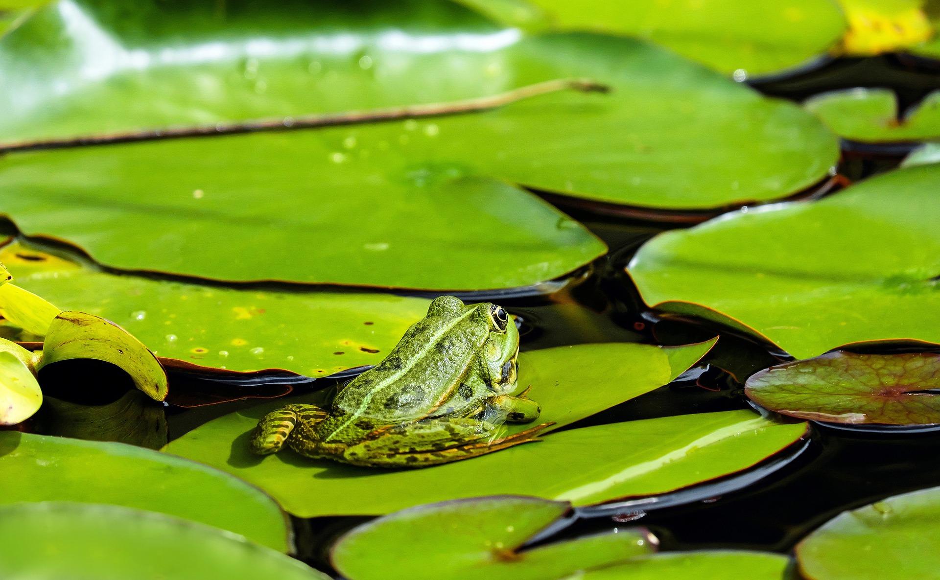 Grenouille, CHARCA, lis d'eau, eau, Amphibiens - Fonds d'écran HD - Professor-falken.com