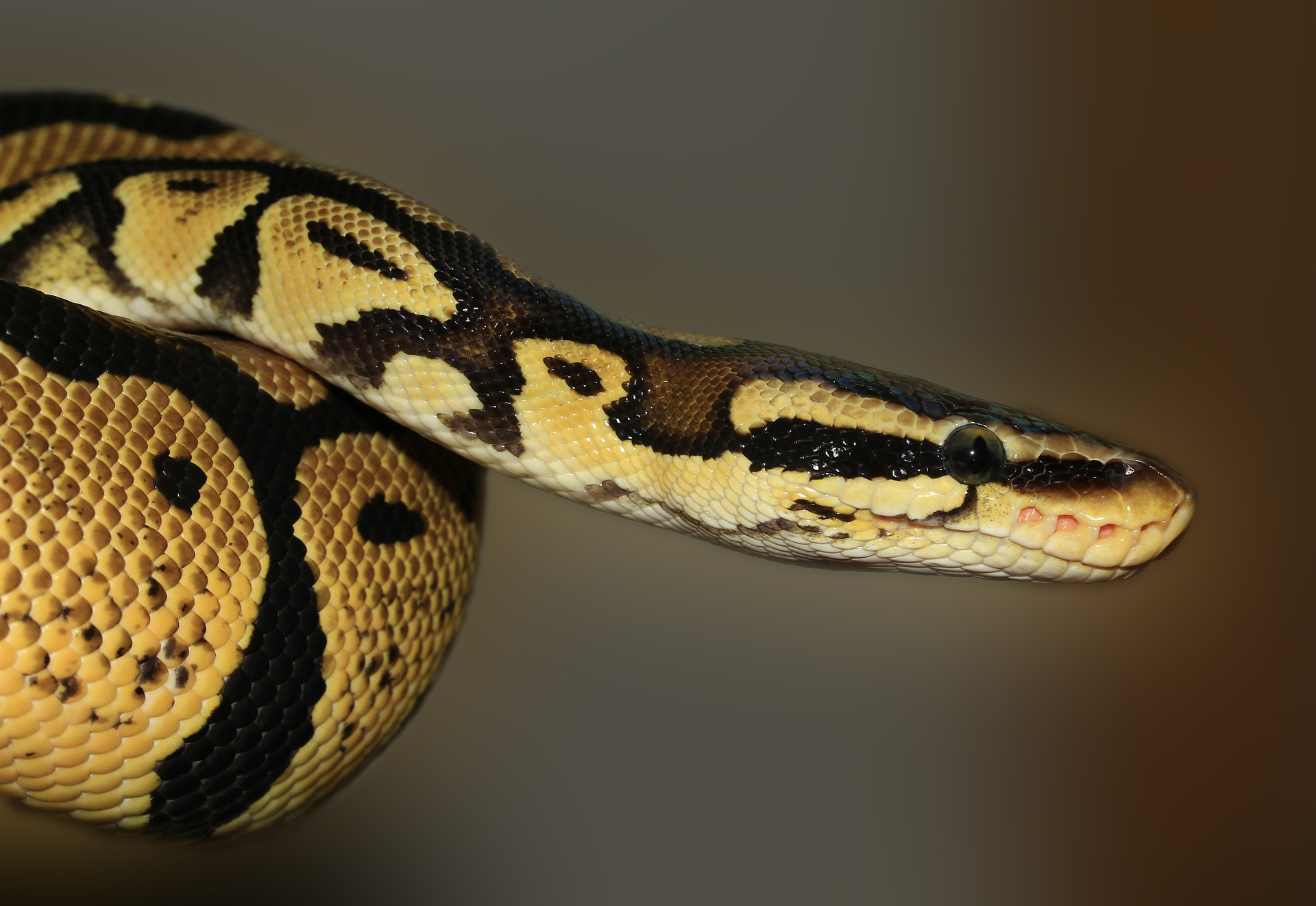 Змея, Python, Гадюка, глаза, Рептилия - Обои HD - Профессор falken.com