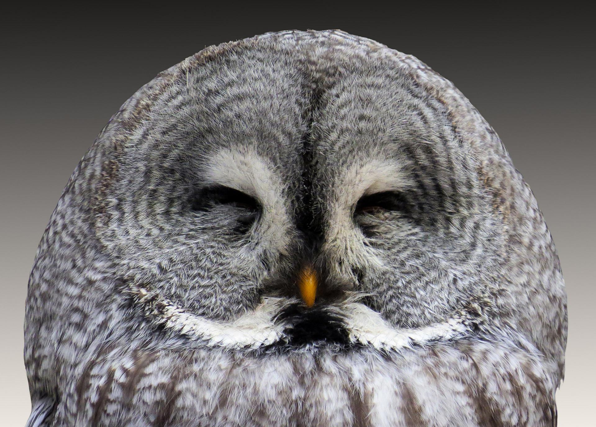 búho, real, plumaje, aves, dormir - Fondos de Pantalla HD - professor-falken.com