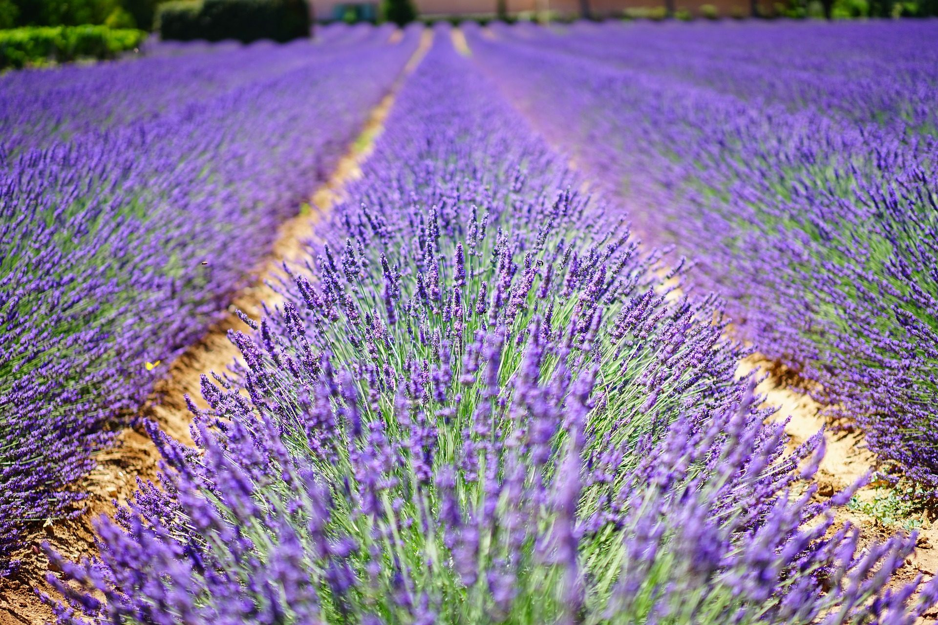 Лаванда, поле, Плантация, púrpura, Фиолетовый - Обои HD - Профессор falken.com