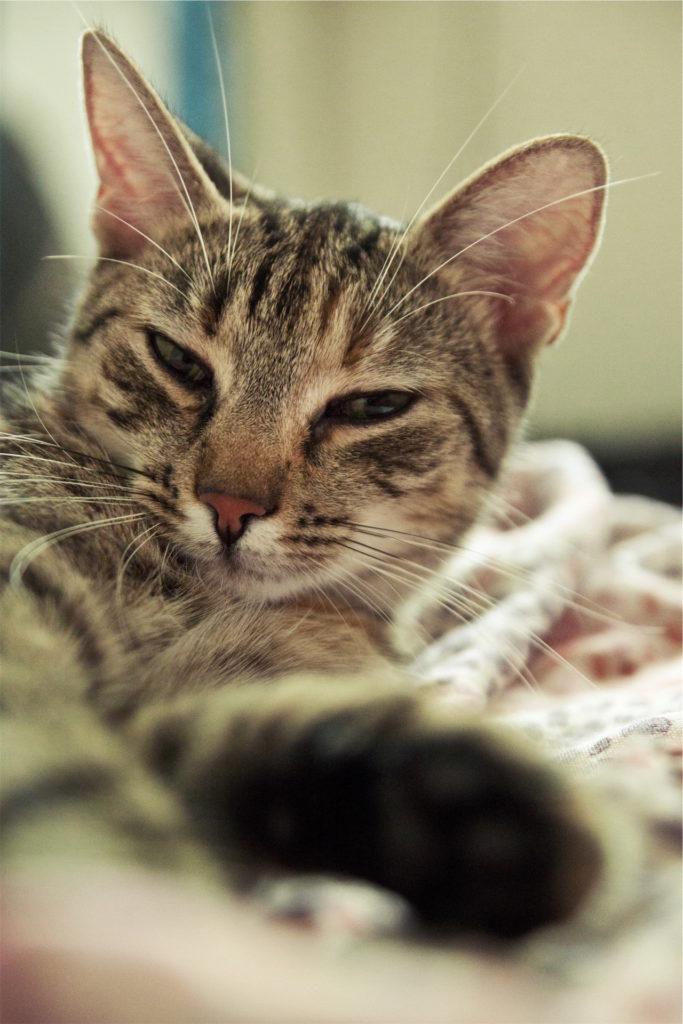 gato, mascota, mirada, adormilado, mimoso, 1609251324