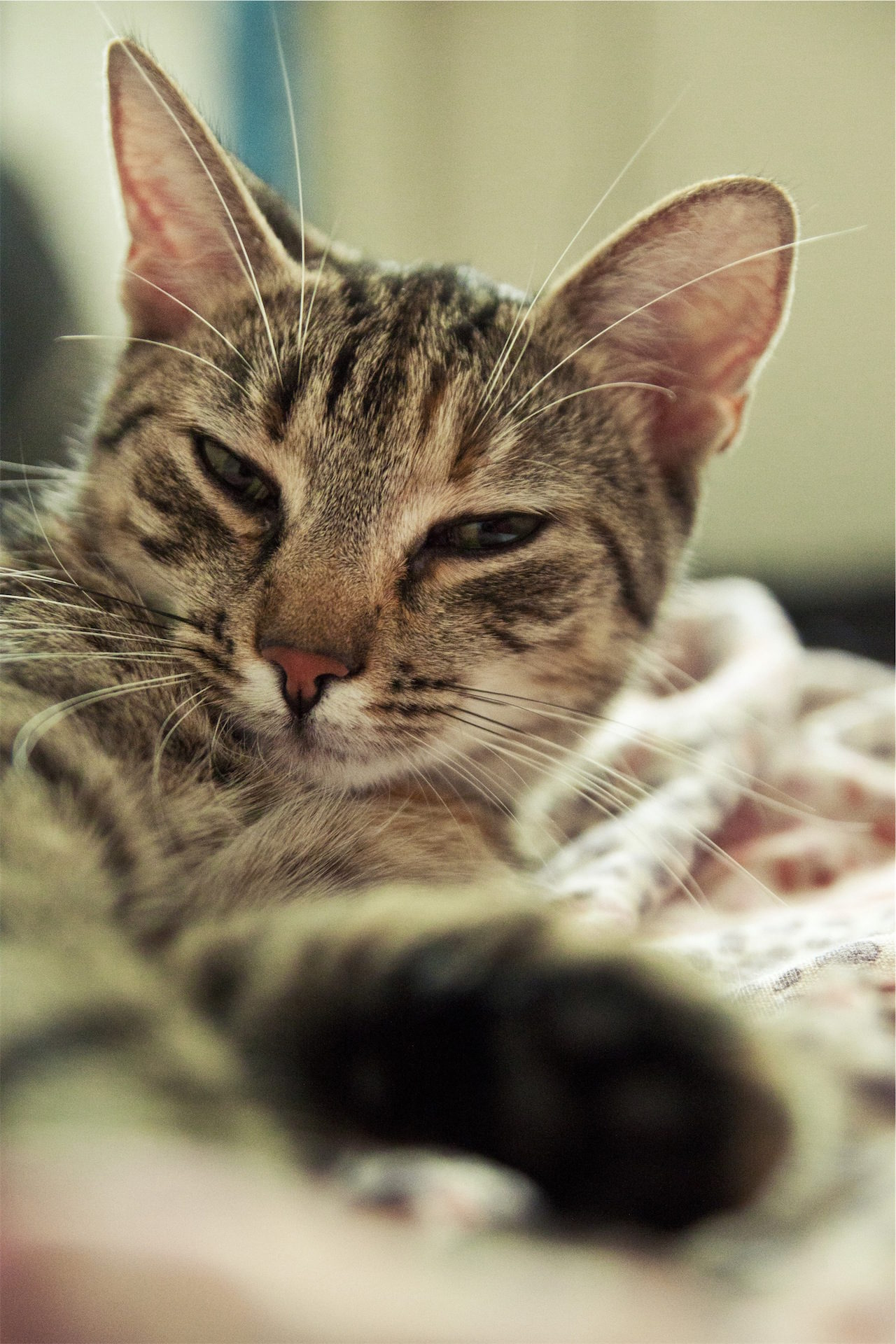 Katze, Haustier, Blick, schläfrig, kuschelige - Wallpaper HD - Prof.-falken.com