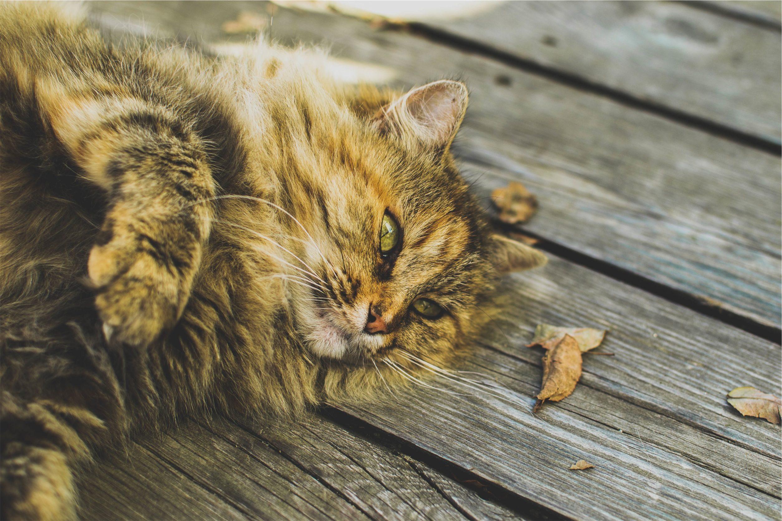 chat, se détendre, sol, bois, coup d'oeil - Fonds d'écran HD - Professor-falken.com