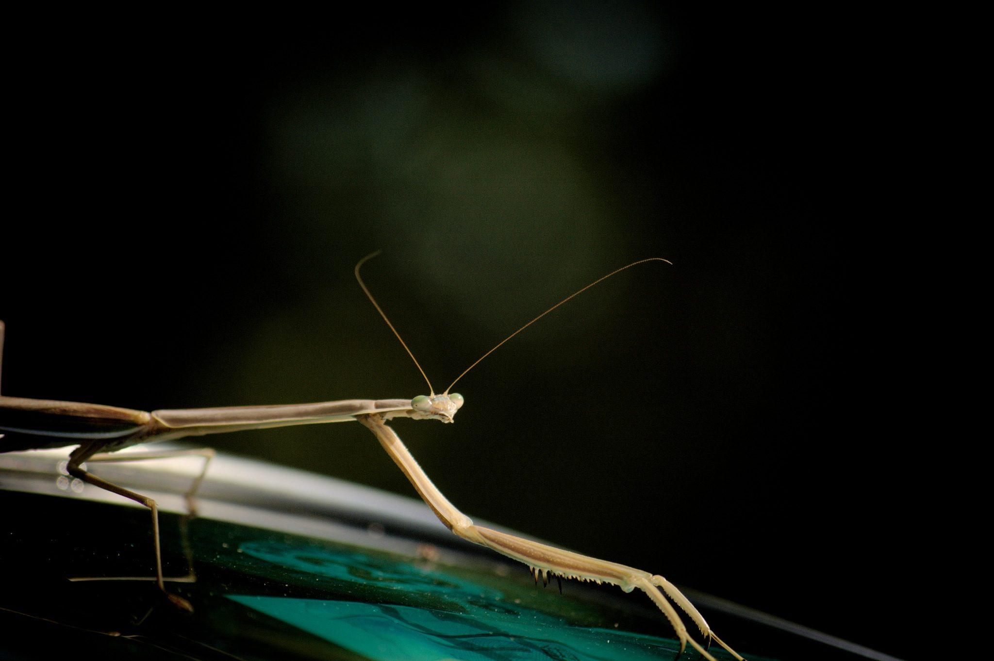Mantis, religiosa, insetto, bug, antenne - Sfondi HD - Professor-falken.com