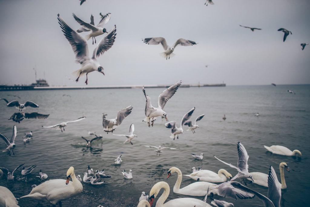 pájaros, cisnes, gaviotas, agua, supervivencia, 1609242303