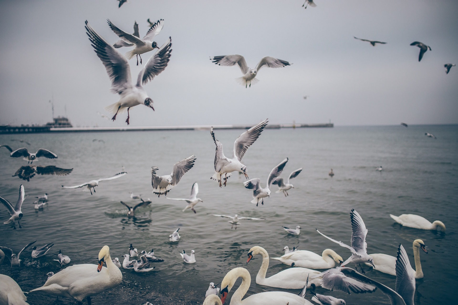 pájaros, cisnes, gaviotas, agua, supervivencia - Fondos de Pantalla HD - professor-falken.com