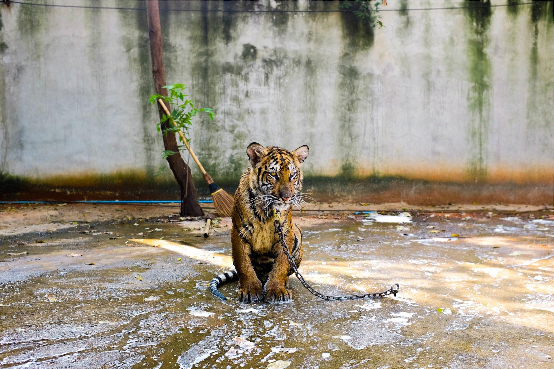 Tigre, en captivité, Zoo, chaînes, coup d'oeil - Fonds d'écran HD - Professor-falken.com