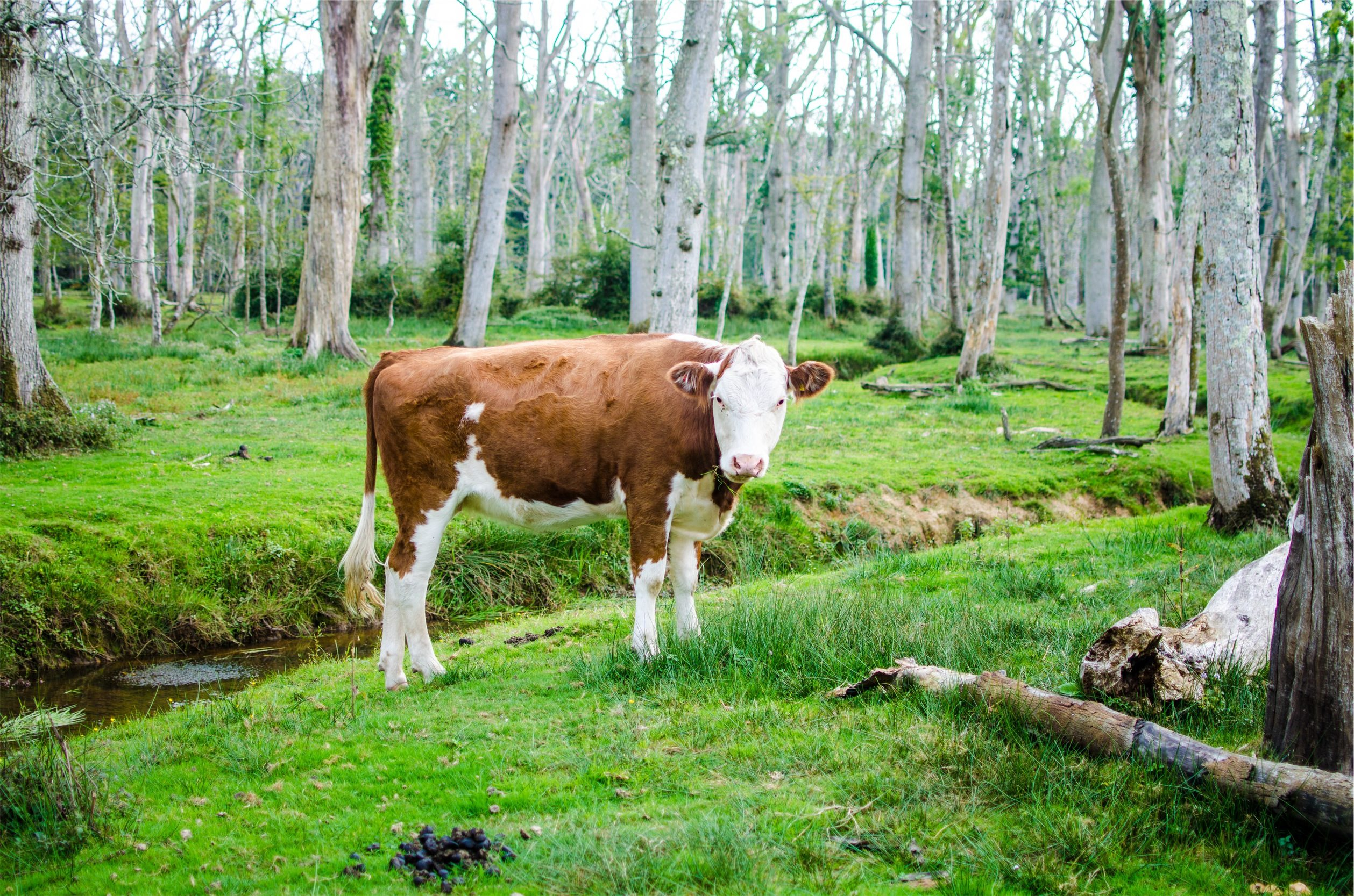 vaca, ternera, 森林, 看看, 树木 - 高清壁纸 - 教授-falken.com