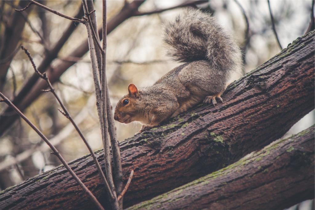 ardilla, árbol, bosque, rama, roedor, 1610211934
