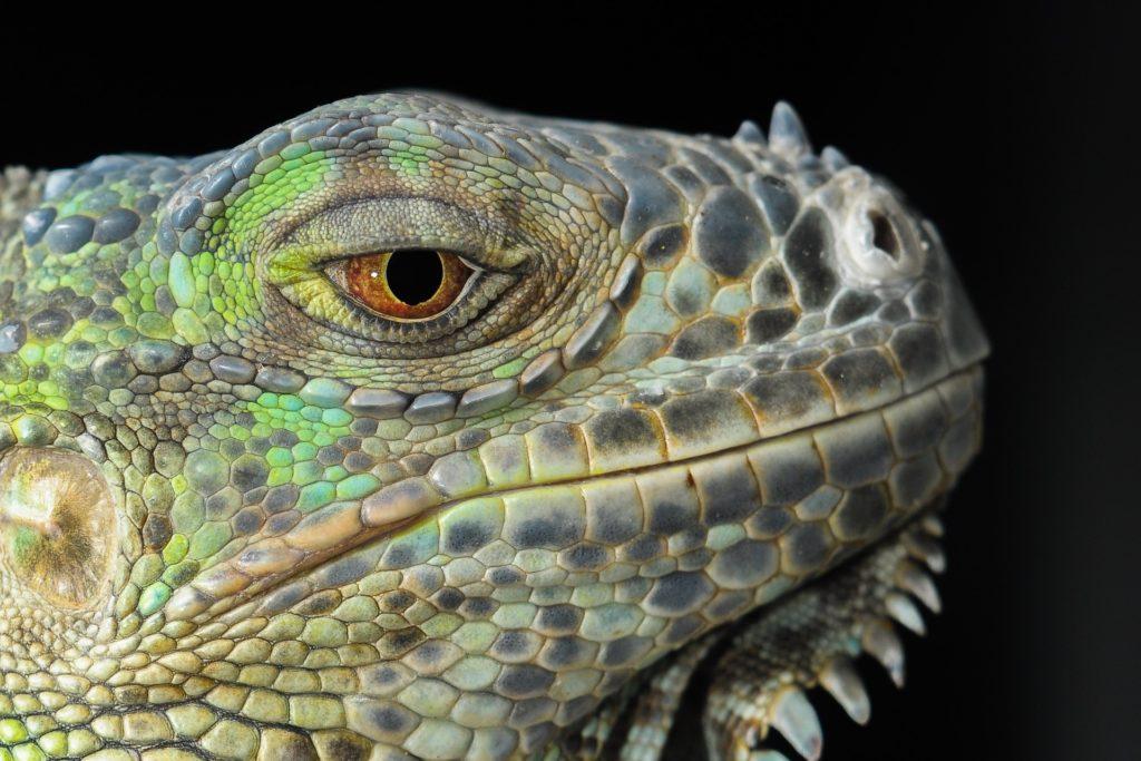 lagarto, iguana, reptil, dragón, ojos, 1610210818