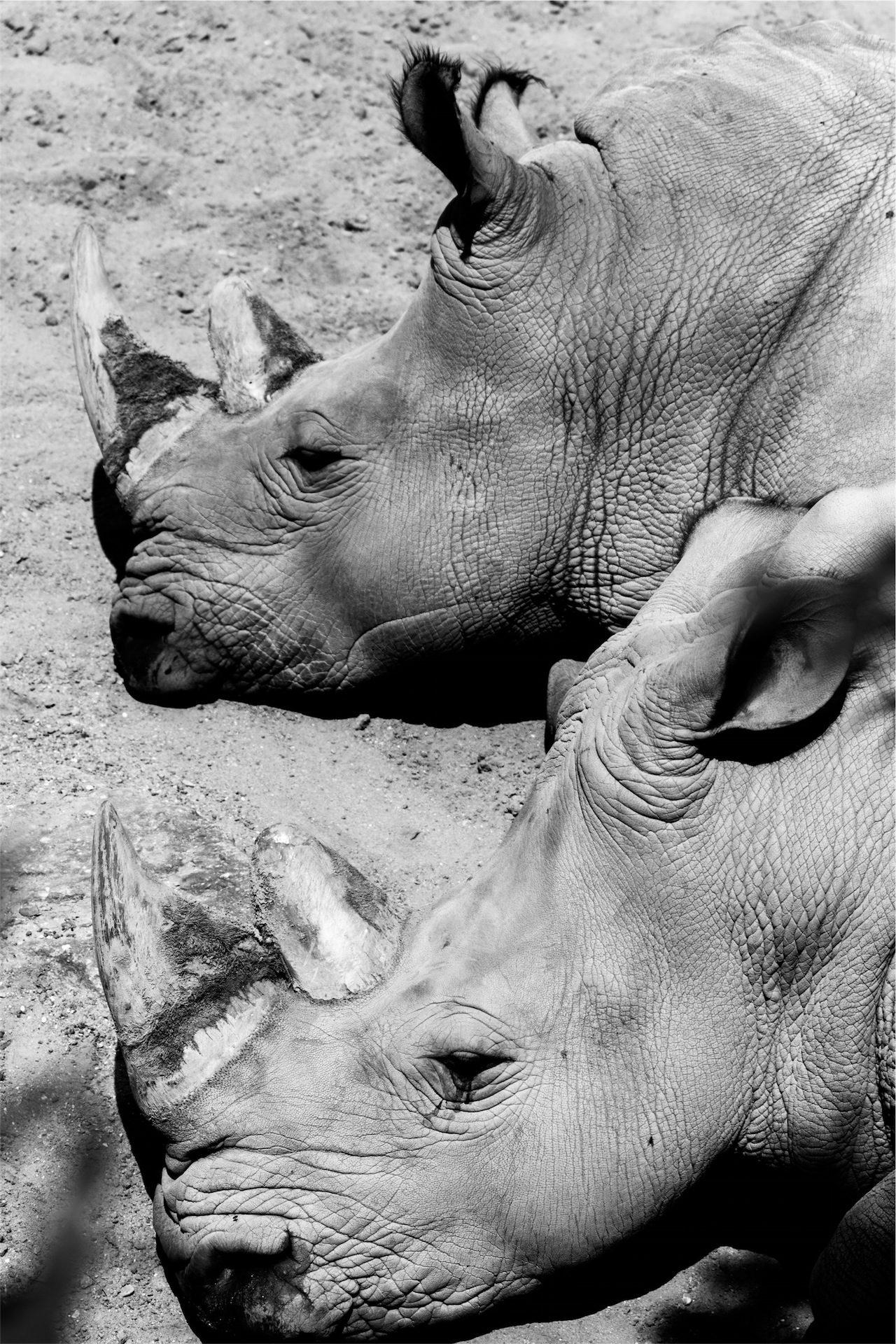носороги, пара, Рога, Головки, в черно-белом - Обои HD - Профессор falken.com