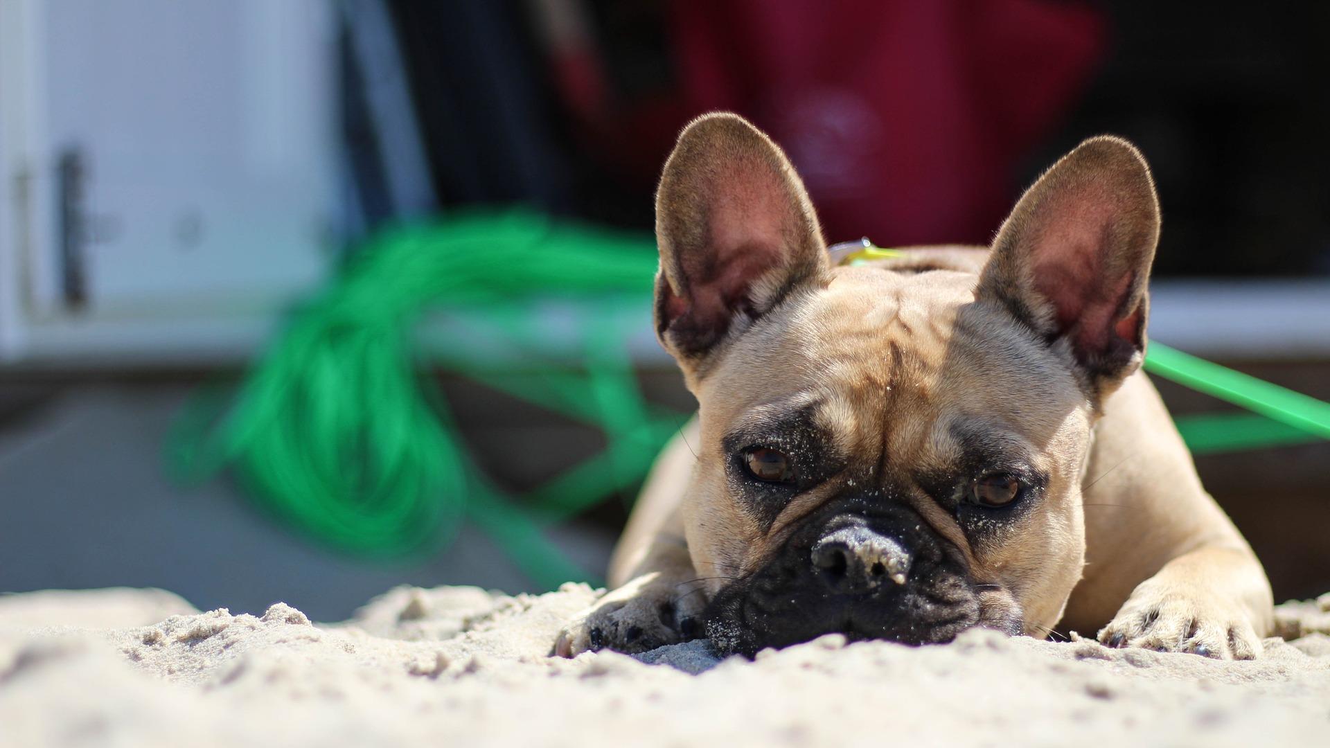斗牛犬, 沙子, 海滩, 放松, 看看 - 高清壁纸 - 教授-falken.com