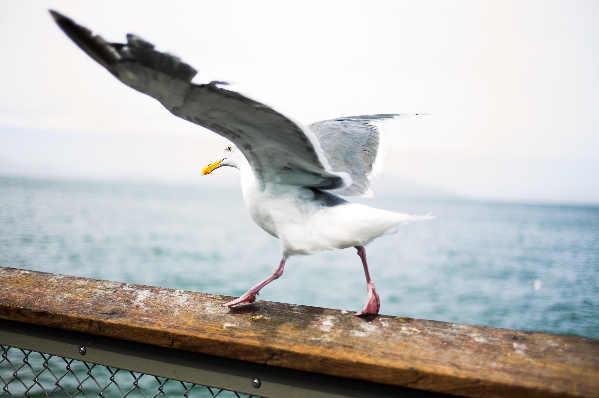 Gabbiano, Ali, uccelli marini, Ave, apertura alare, Mare - Sfondi HD - Professor-falken.com