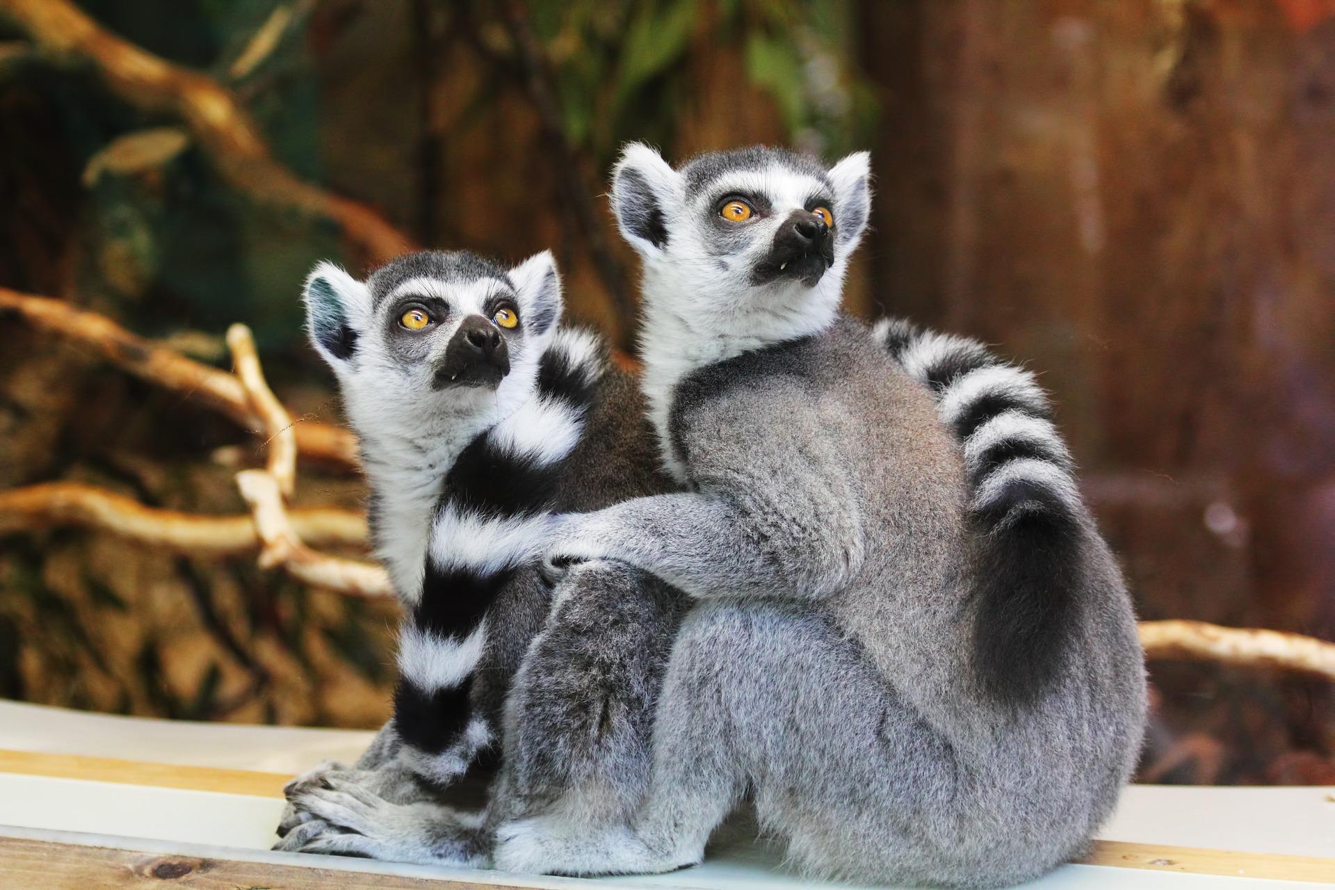 Lemur, casal, cauda, reticulado, cara, espanto - Papéis de parede HD - Professor-falken.com