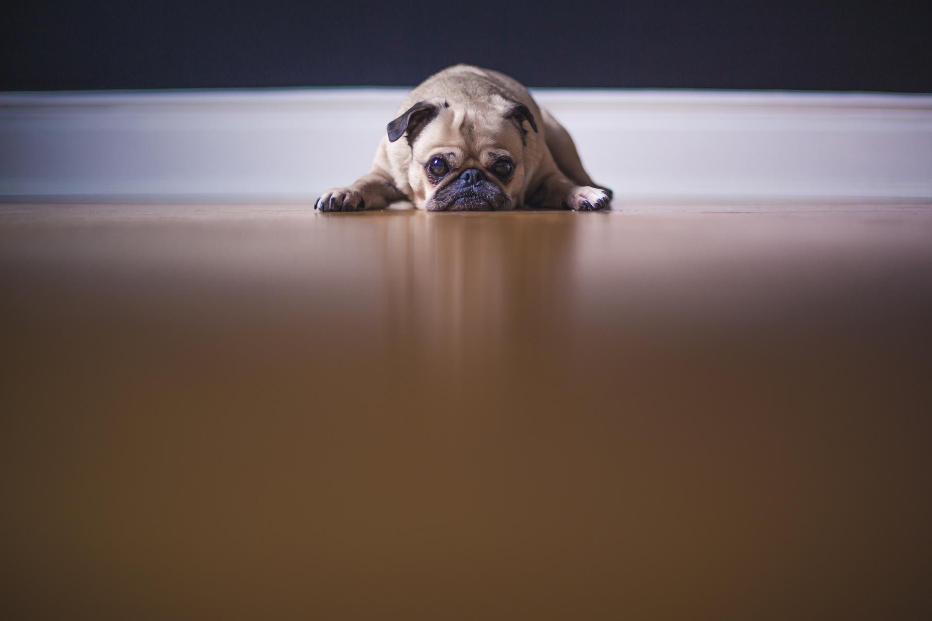 chien, coup d'oeil, fatigué, tendresse, ami (e), Animal de compagnie - Fonds d'écran HD - Professor-falken.com