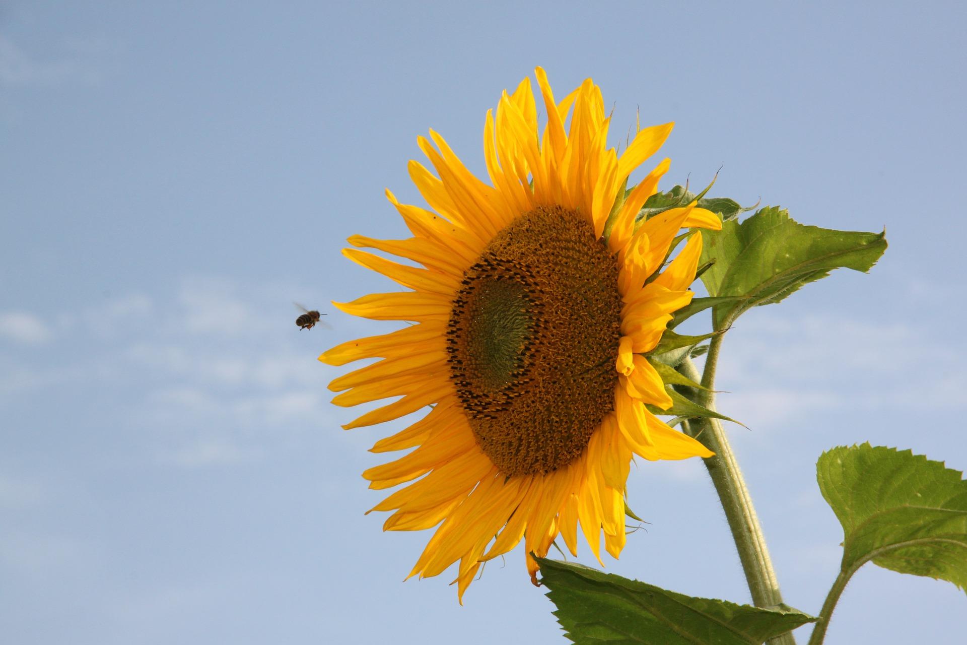 عباد الشمس, نحلة, حبوب اللقاح, صيف, السماء - خلفيات عالية الدقة - أستاذ falken.com