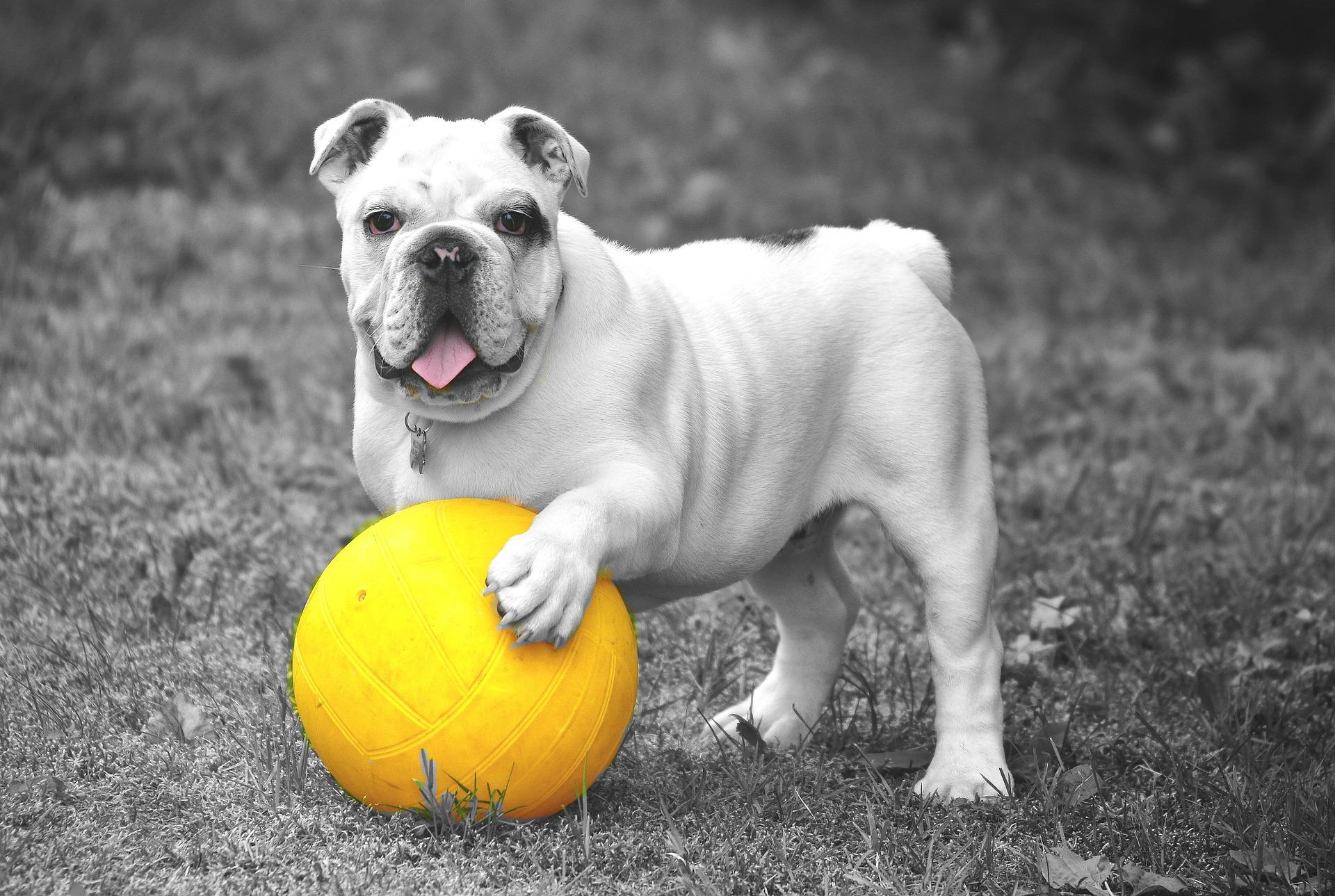 cane, palla, Animale domestico, in bianco e nero, gioco - Sfondi HD - Professor-falken.com