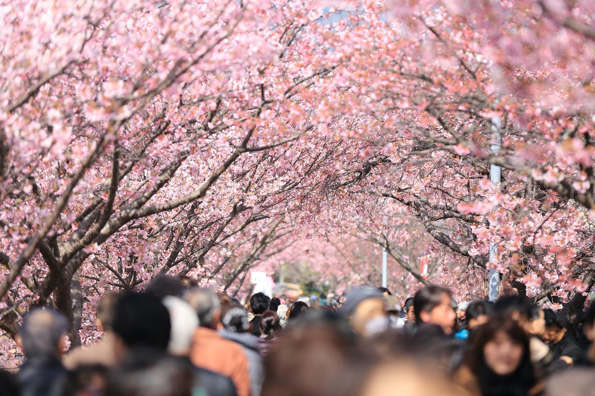 Kirschbäume, Bloom, Menschen, Japan, Rosa - Wallpaper HD - Prof.-falken.com