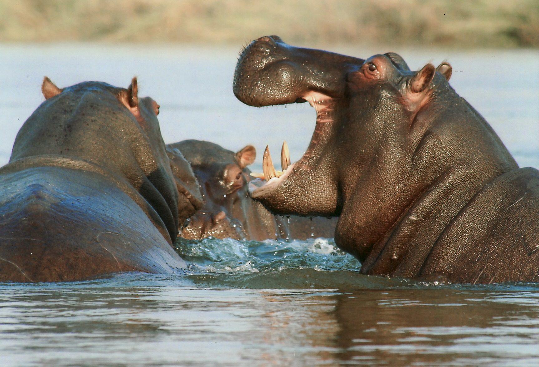 Бегемоты, зубы, Река, Намибия, Африка - Обои HD - Профессор falken.com