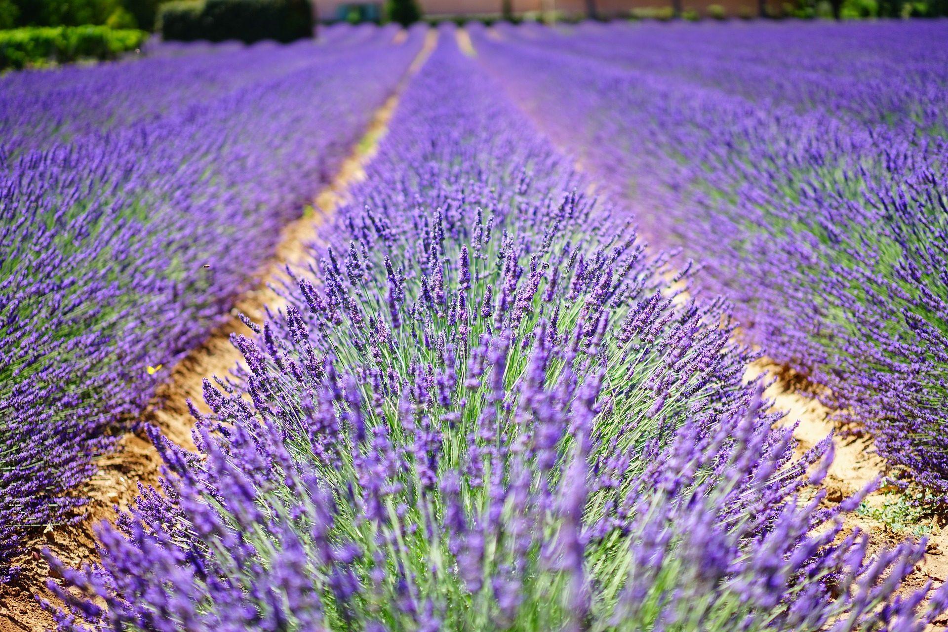 Lavande, domaine, Plantation, Purple, Violet - Fonds d'écran HD - Professor-falken.com