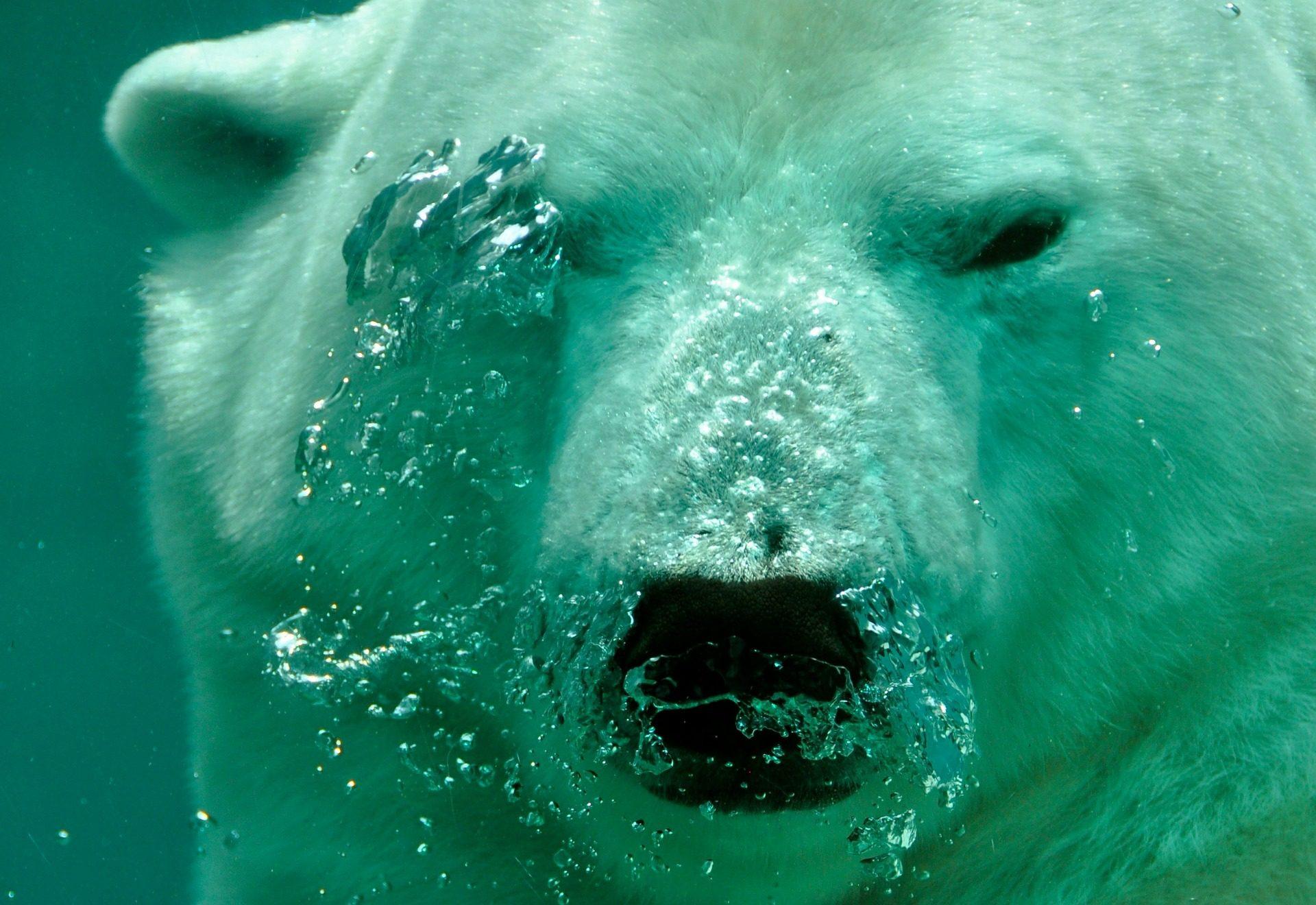 urso, Polar, mamífero, água, debaixo d'água - Papéis de parede HD - Professor-falken.com