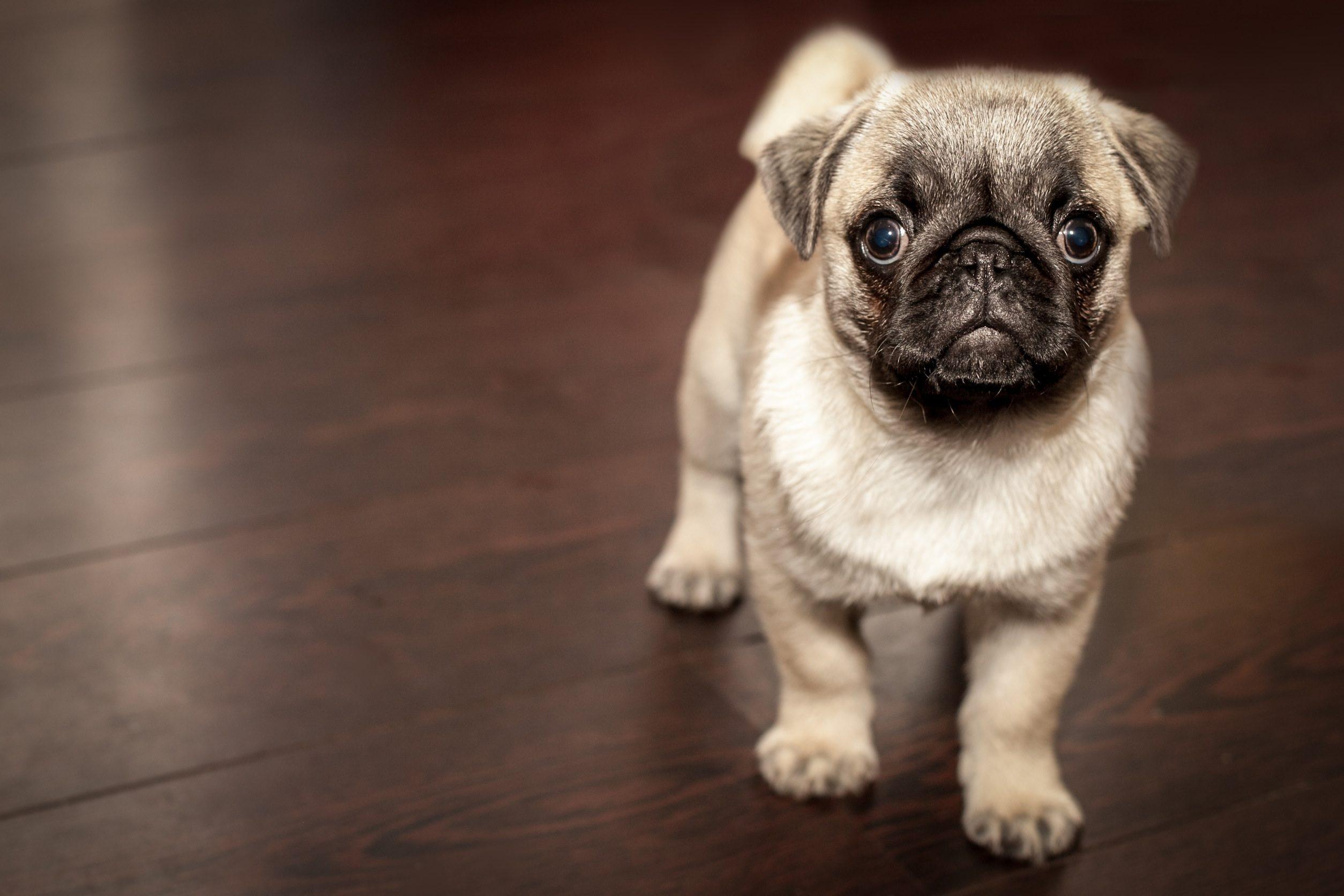 pug, perro, cachorro, lindo, mirada - Fondos de Pantalla HD - professor-falken.com