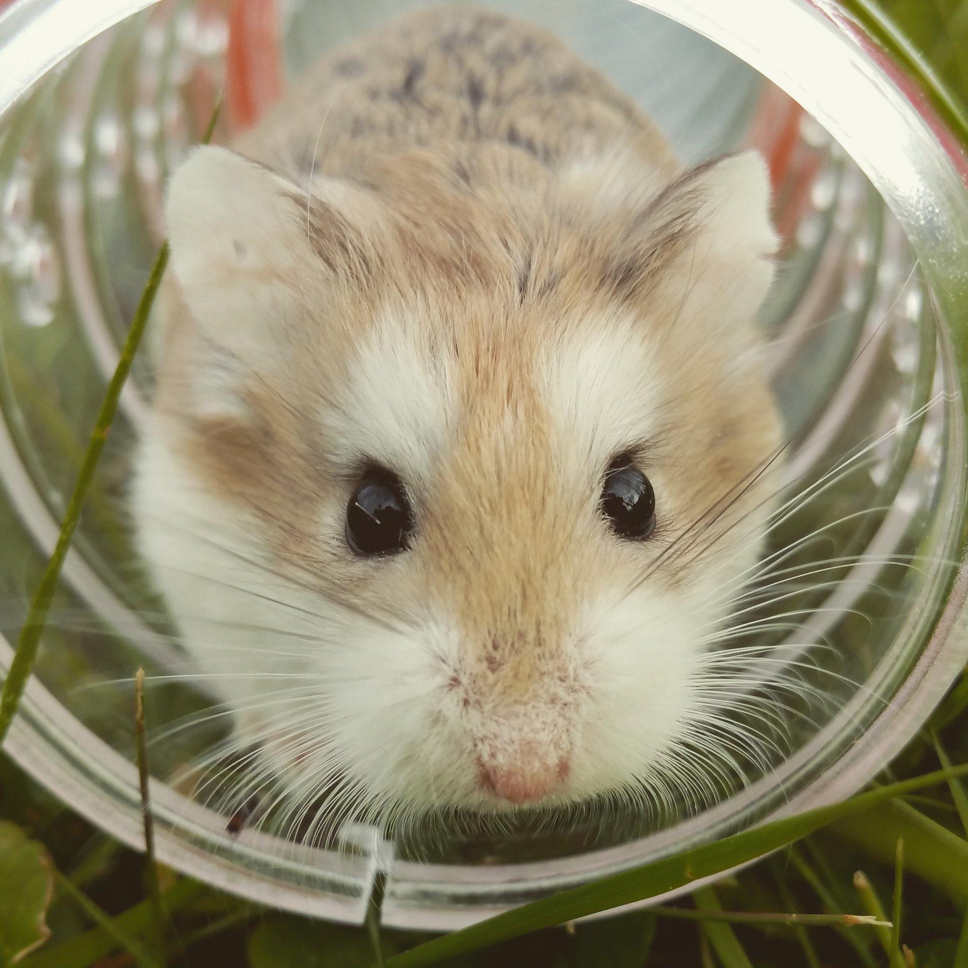 鼠标, 字段, 管, 宠物, 啮齿类动物 - 高清壁纸 - 教授-falken.com