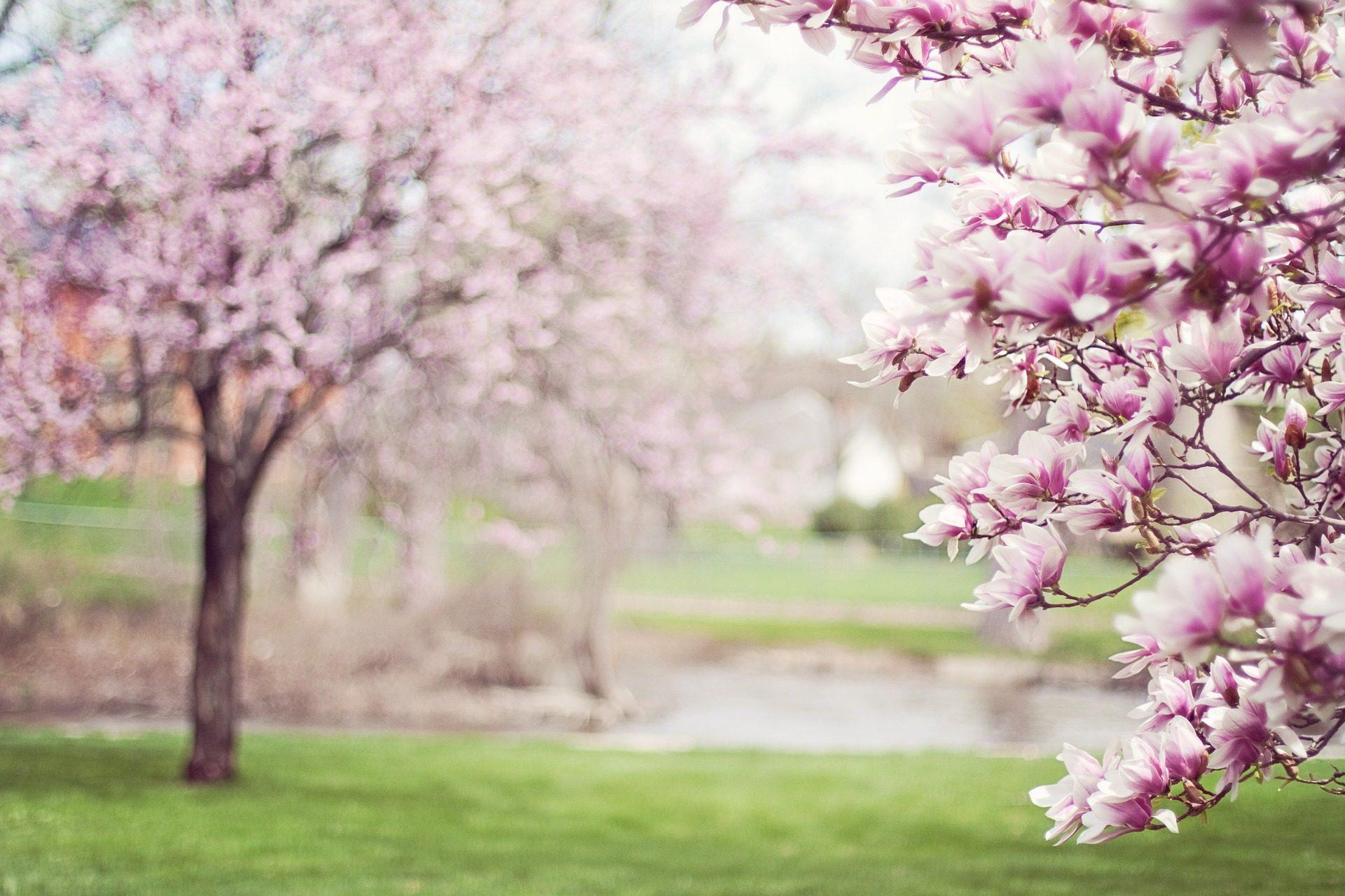 rboles, floración, magnolias, वसंत, रोजा - HD वॉलपेपर - प्रोफेसर-falken.com