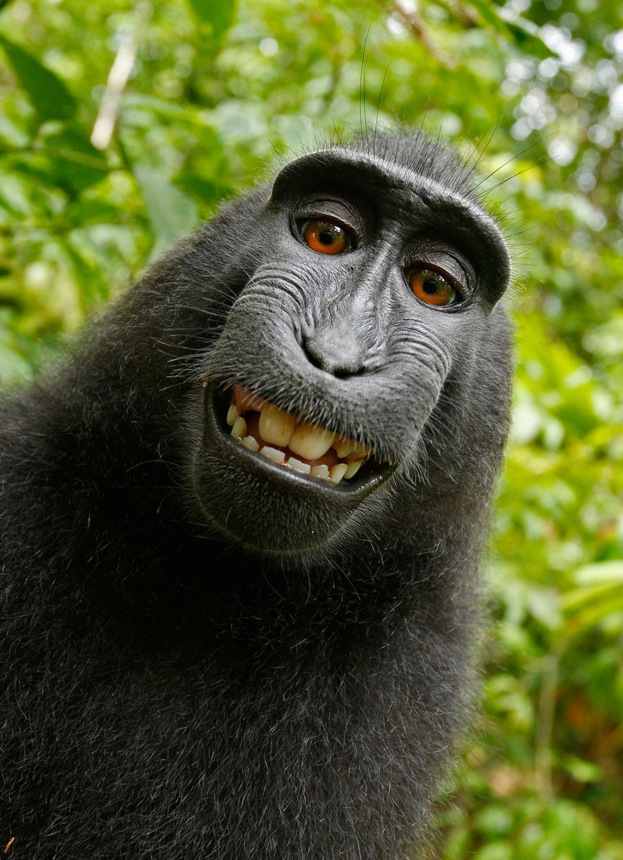 selfie, mono, Macara nigra, Primaz, Animales - Papéis de parede HD - Professor-falken.com