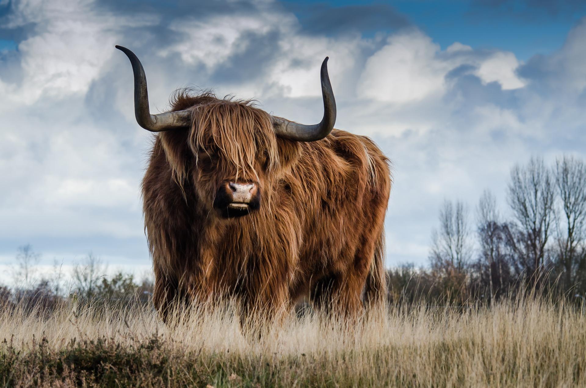 Toro, chifres, gado, fazenda, nuvens - Papéis de parede HD - Professor-falken.com