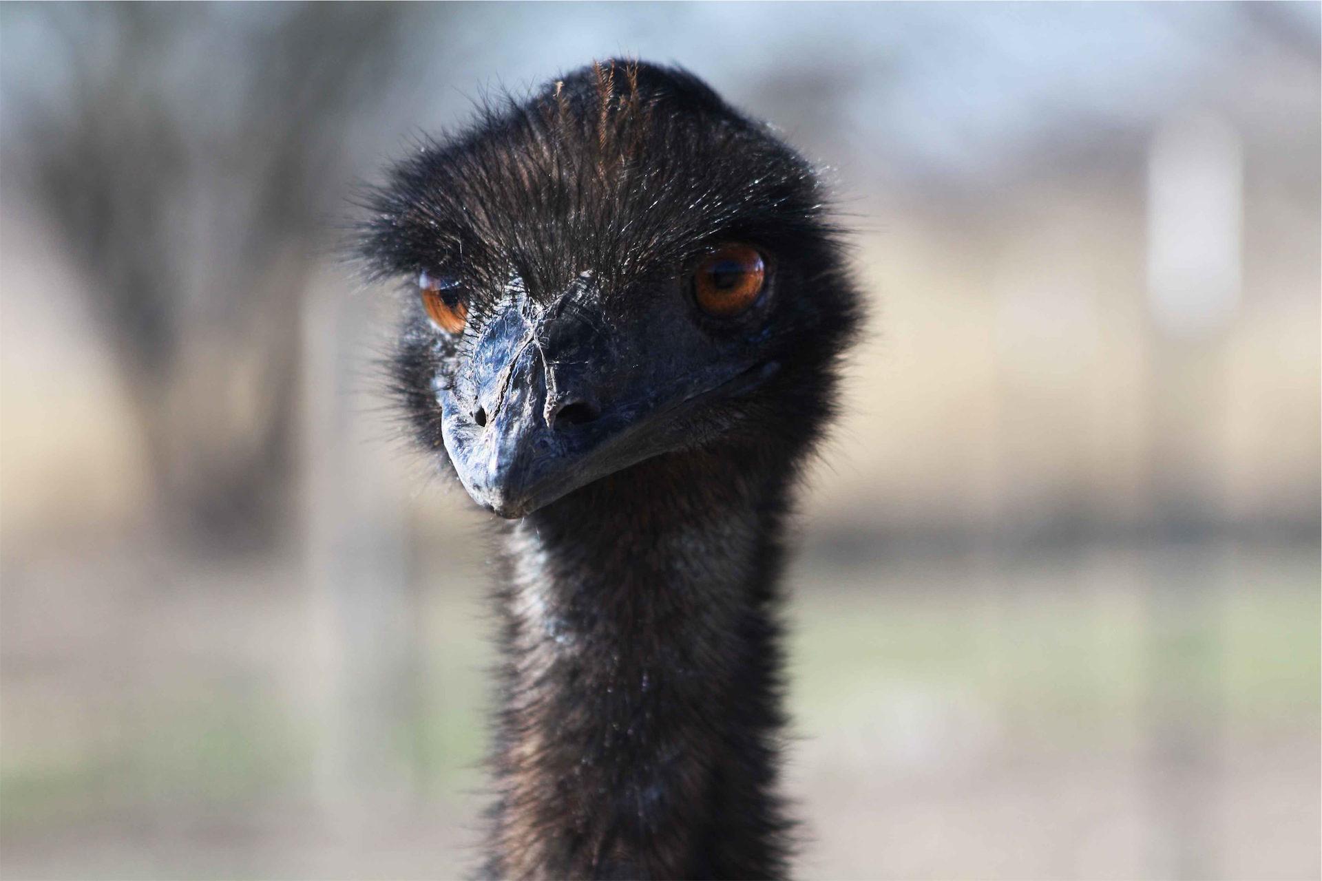 avestruz, Selvagem, Ave, cabeça, pico - Papéis de parede HD - Professor-falken.com