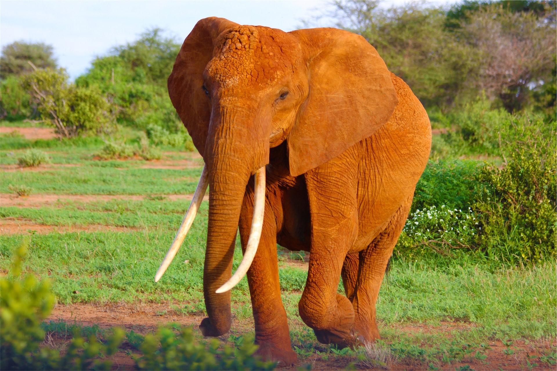 elefante, presas, carreira, Selvagem, Defesa - Papéis de parede HD - Professor-falken.com