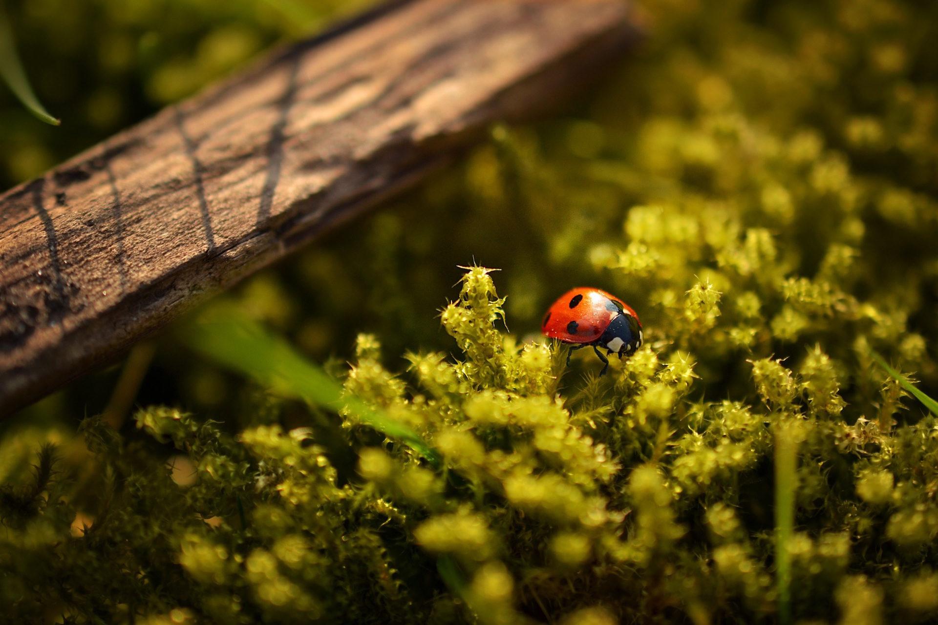 insecto, mariquita, campo, plantas, supervivencia - Fondos de Pantalla HD - professor-falken.com
