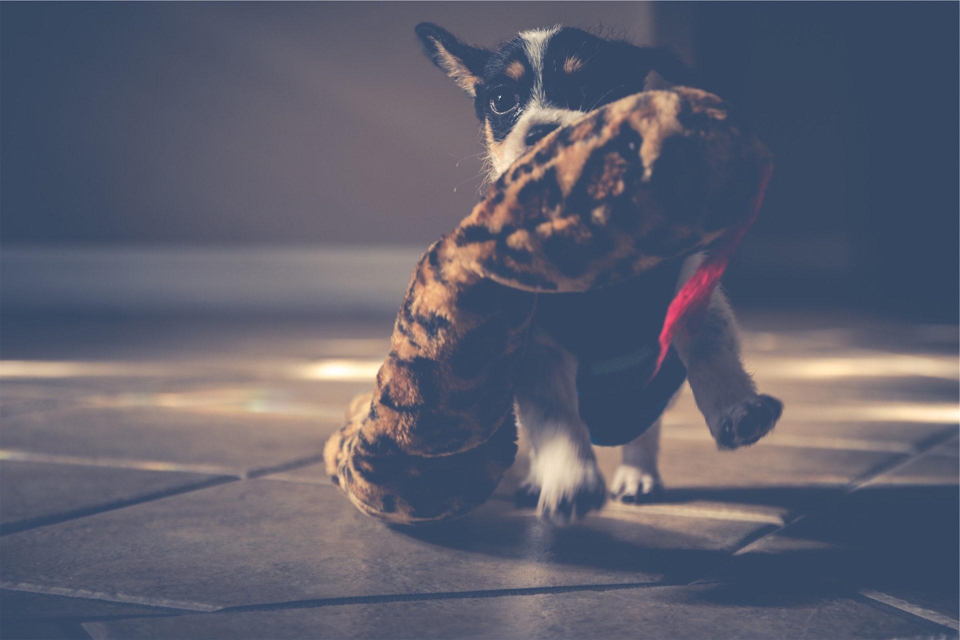 собака, Щенок, Тедди, Монада, игра - Обои HD - Профессор falken.com