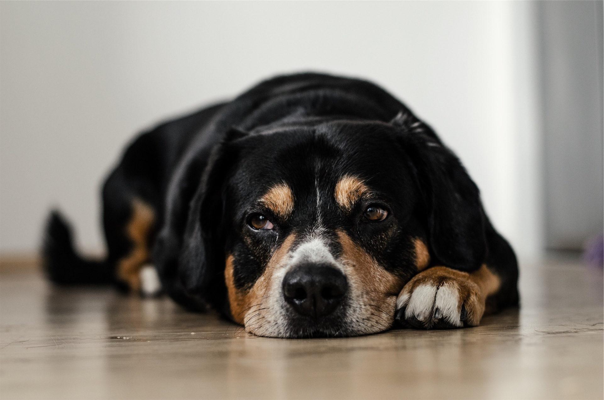 chien, Animal de compagnie, se détendre, coup d'oeil, tranquilité - Fonds d'écran HD - Professor-falken.com