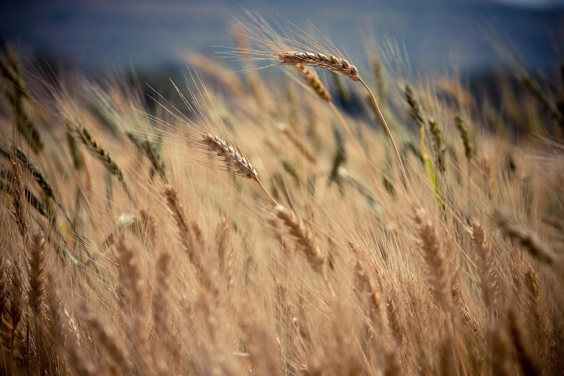 trigo, campo, Pradera, vento, inclinação - Papéis de parede HD - Professor-falken.com