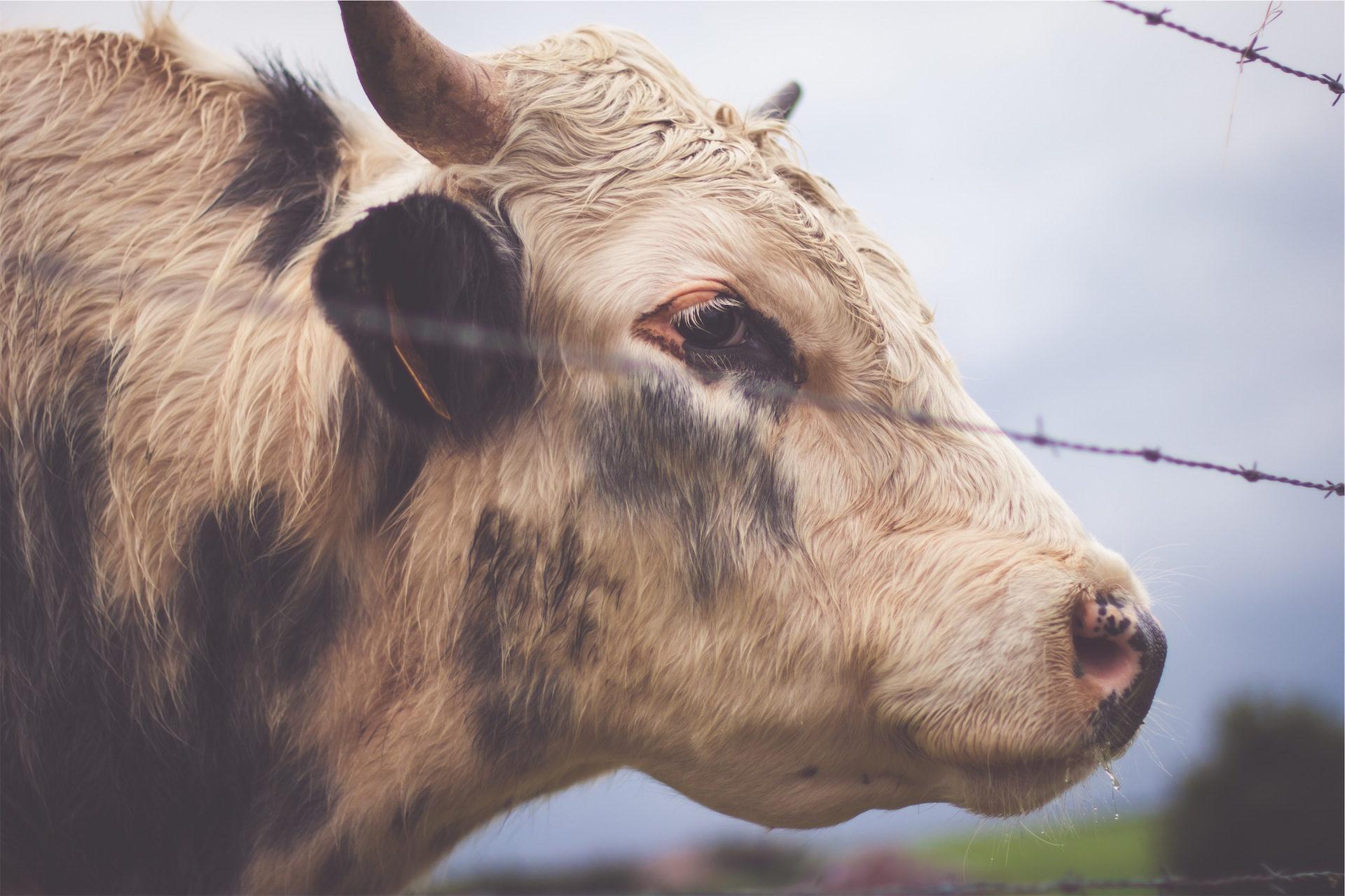 Корова, Телятина, Смотреть, поле, забор - Обои HD - Профессор falken.com