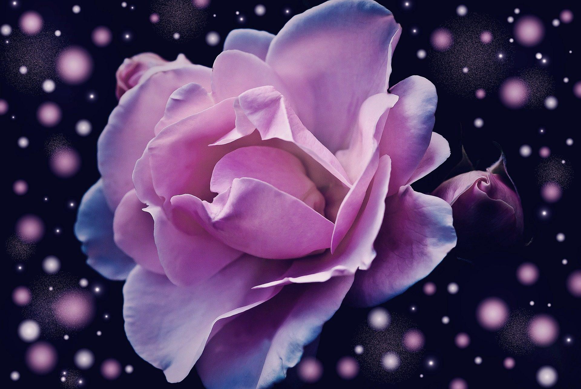 Ροζ, Μωβ, Λουλούδι, Φωτοστέφανα, Πέταλα - Wallpapers HD - Professor-falken.com