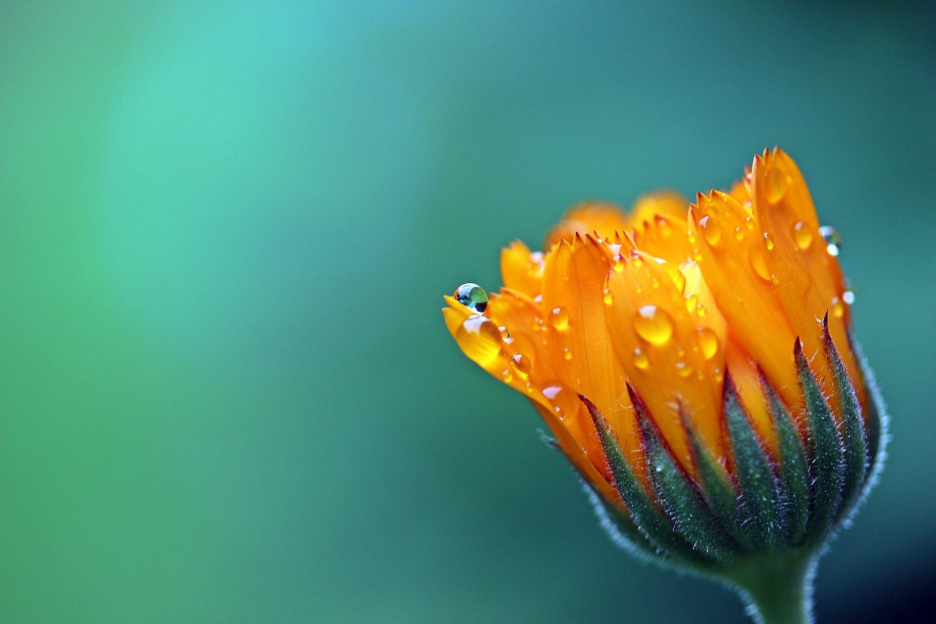 Ringelblume, Blume, Rocio, Orange, Blütenblätter - Wallpaper HD - Prof.-falken.com