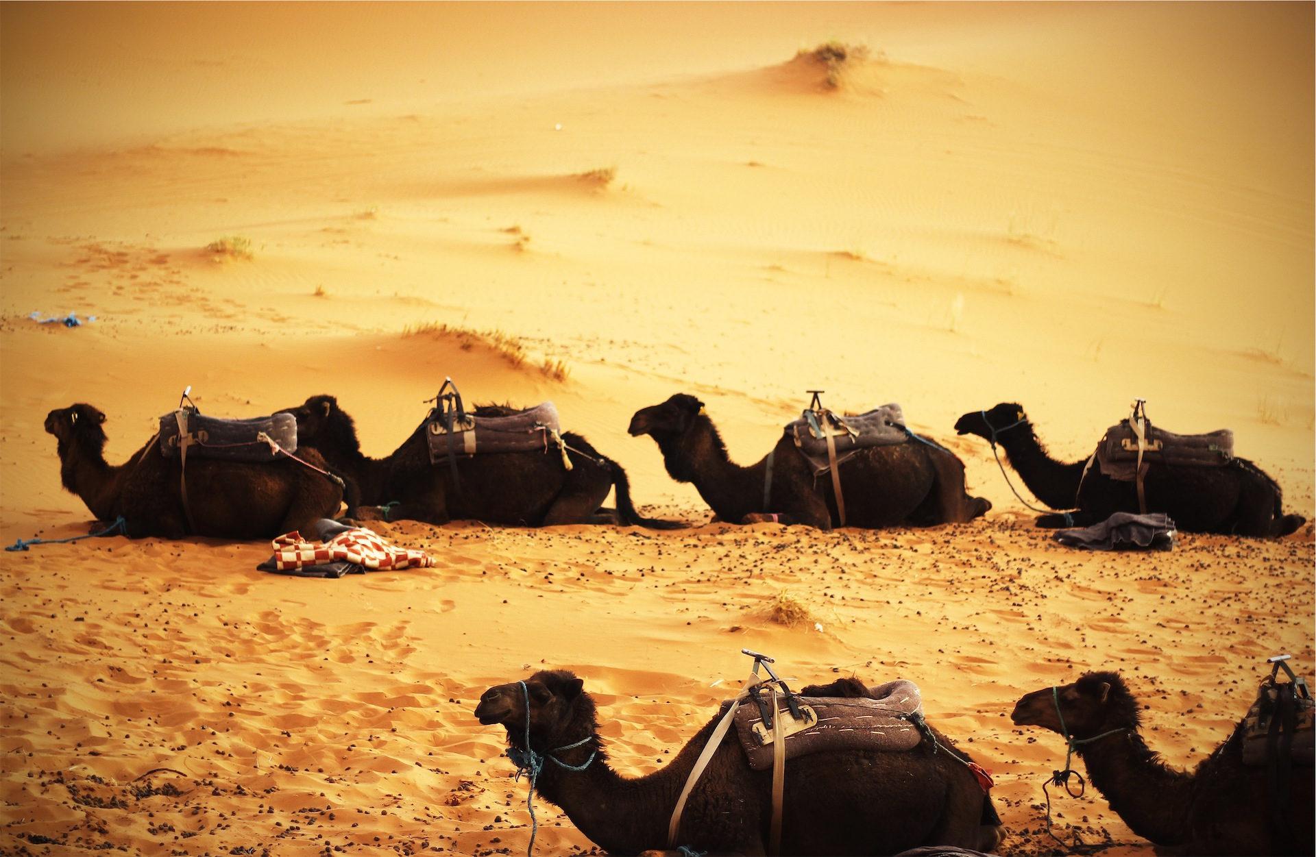 καμήλες, Έρημοι, Δρομάδων, Άμμος, αφιλόξενη - Wallpapers HD - Professor-falken.com