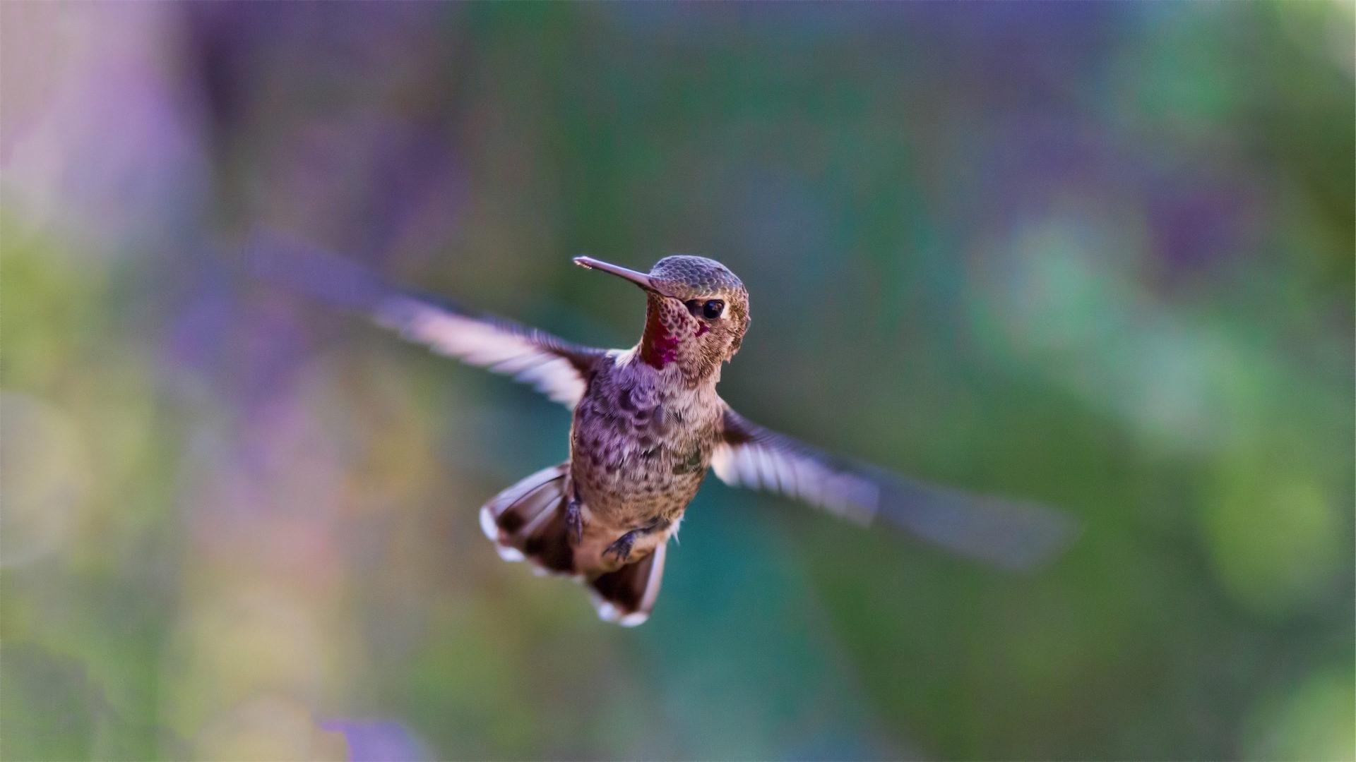 colibrí, 翼, 鳥, 飛ぶ, aleteo - HD の壁紙 - 教授-falken.com