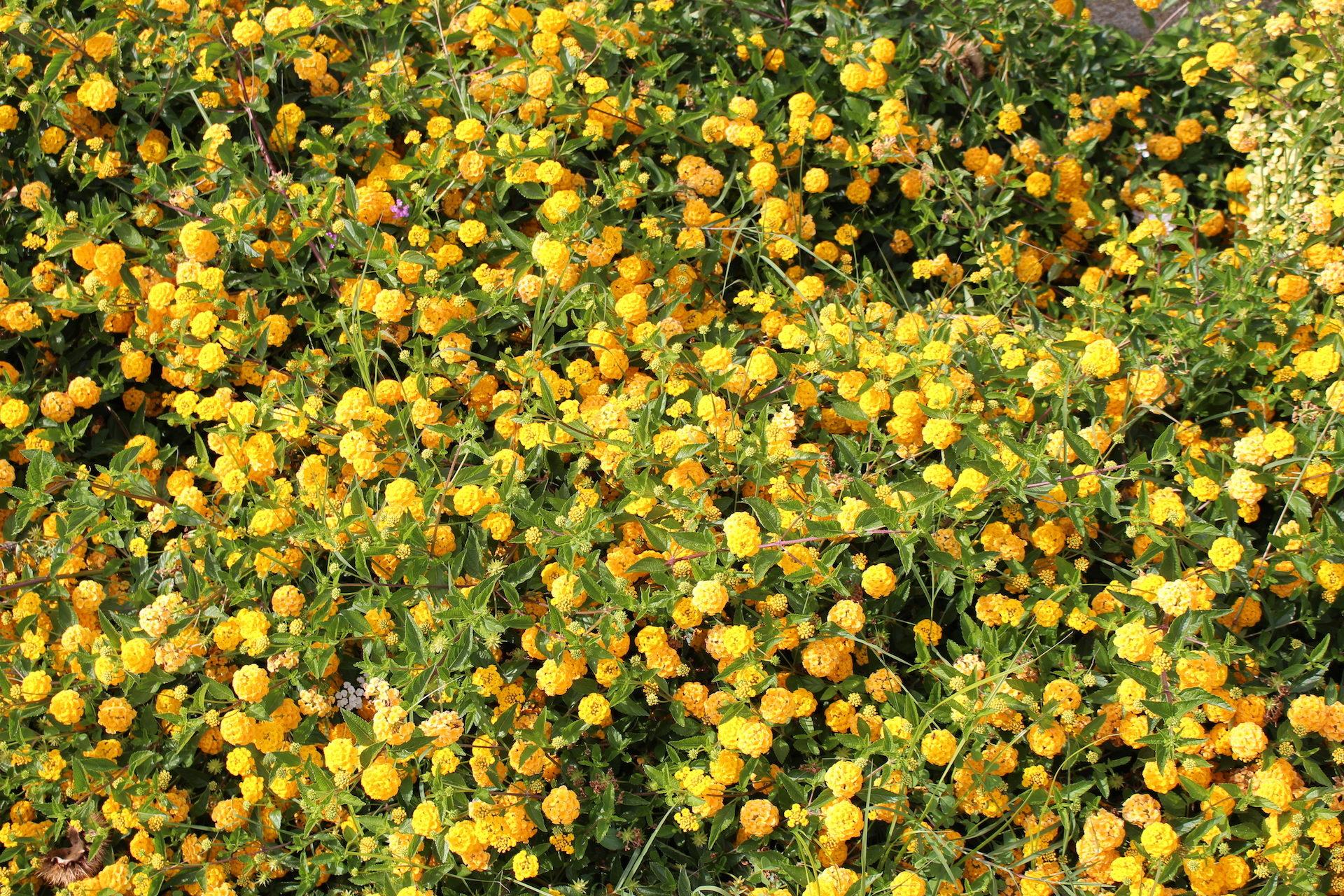 Цветы, растения, изобилие, Рамос, Жёлтый - Обои HD - Профессор falken.com